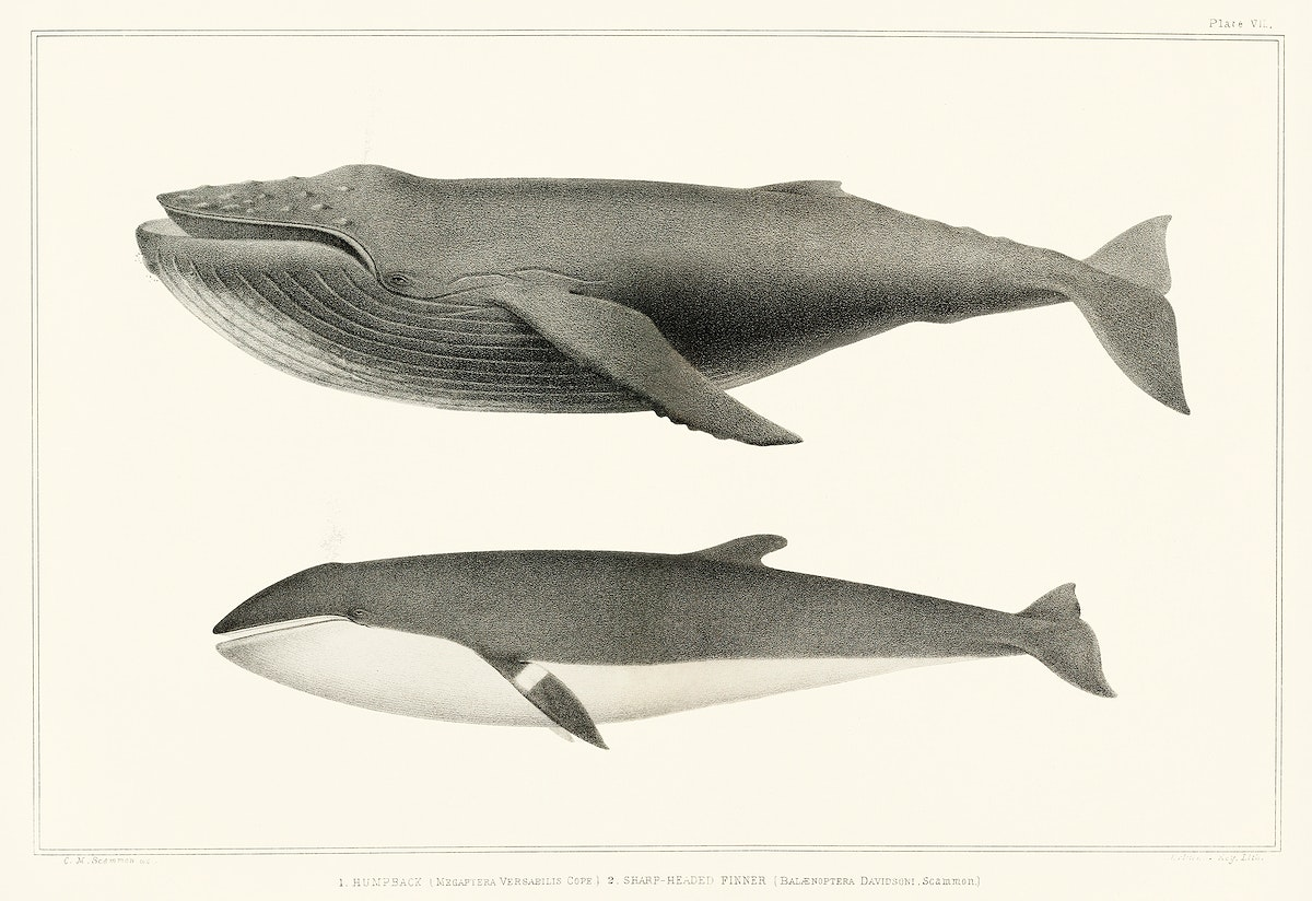 1. Humpback whale (Megaptera versabilis) 2. Minke whale (Balaenoptera davidsoni) from Natural history of the cetaceans and…