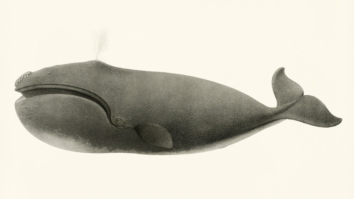 North Pacific right whale (Balaena sieboldii) from Natural history of the cetaceans and other marine mammals of the western…