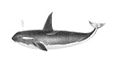 Vintage illustrations of Orca or Killer whale