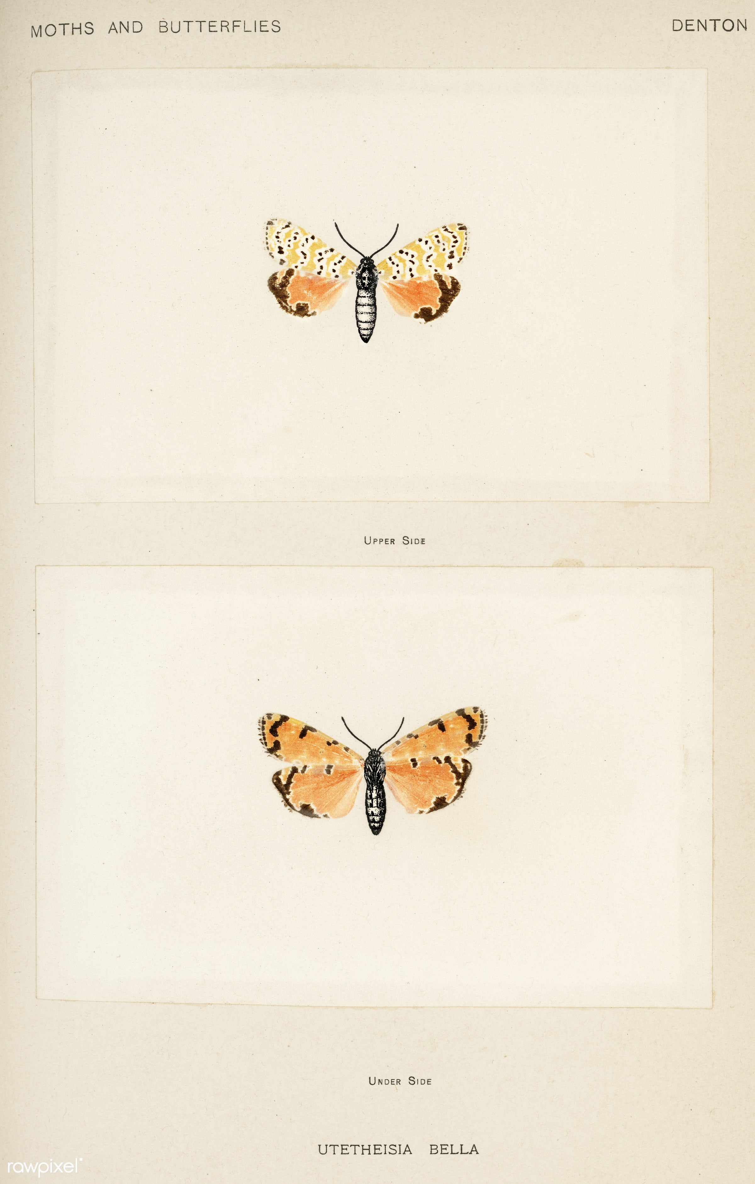 Bella Moth (Utetheisia Bella) from Moths and butterflies of the United States (1900) by Sherman F. Denton (1856-1937)....