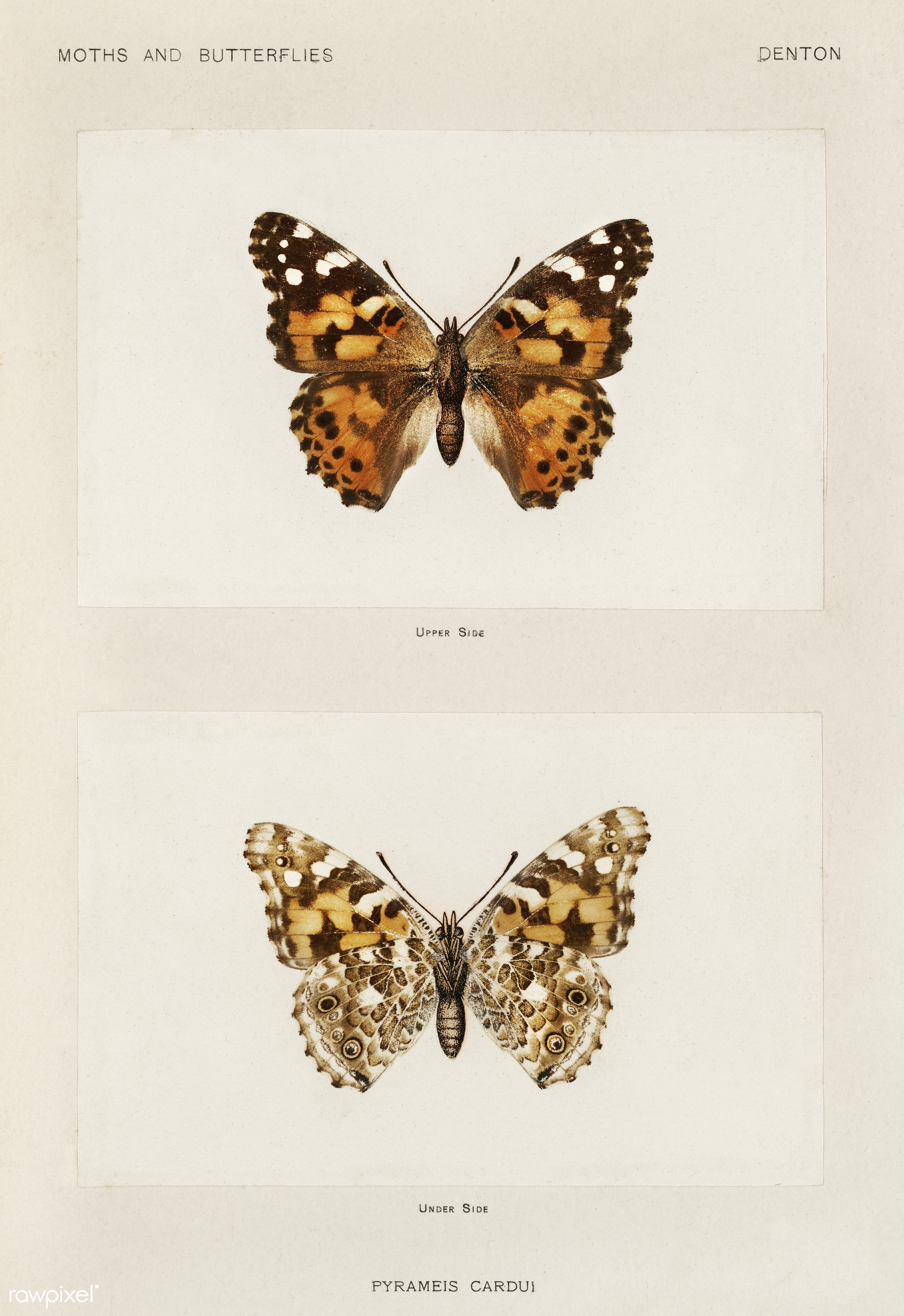 Painted Lady (Pyrameis Cardui) from Moths and butterflies of the United States (1900) by Sherman F. Denton (1856-1937)....