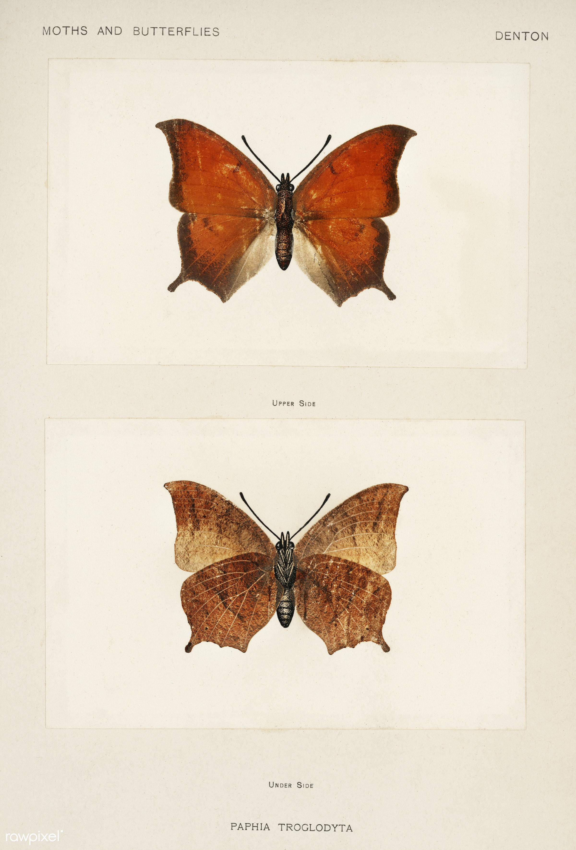Tropical Leafwing (Paphia Troglodyta) from Moths and butterflies of the United States (1900) by Sherman F. Denton (1856-1937...