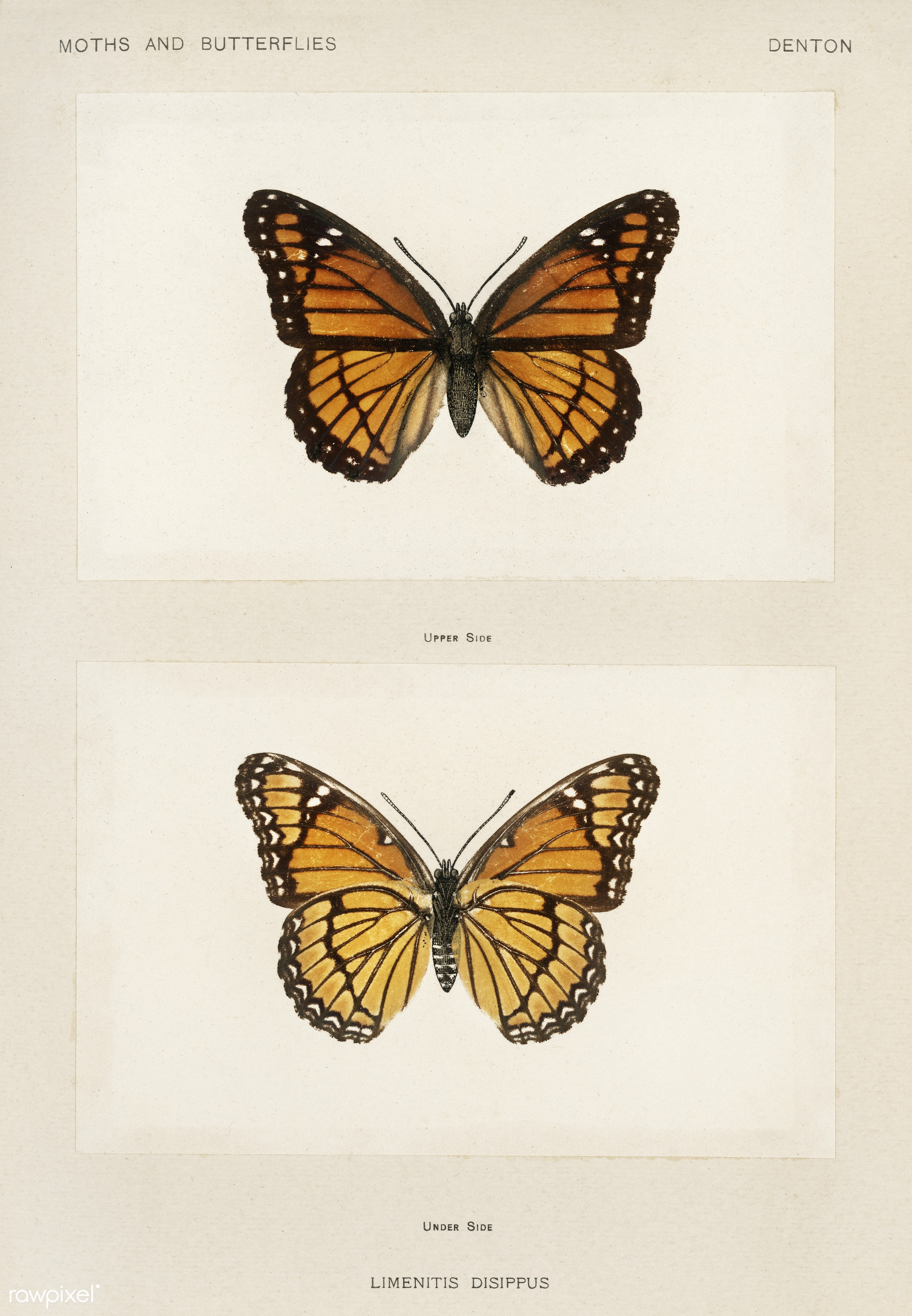 Viceroy (Limenitis Disippus) from Moths and butterflies of the United States (1900) by Sherman F. Denton (1856-1937)....