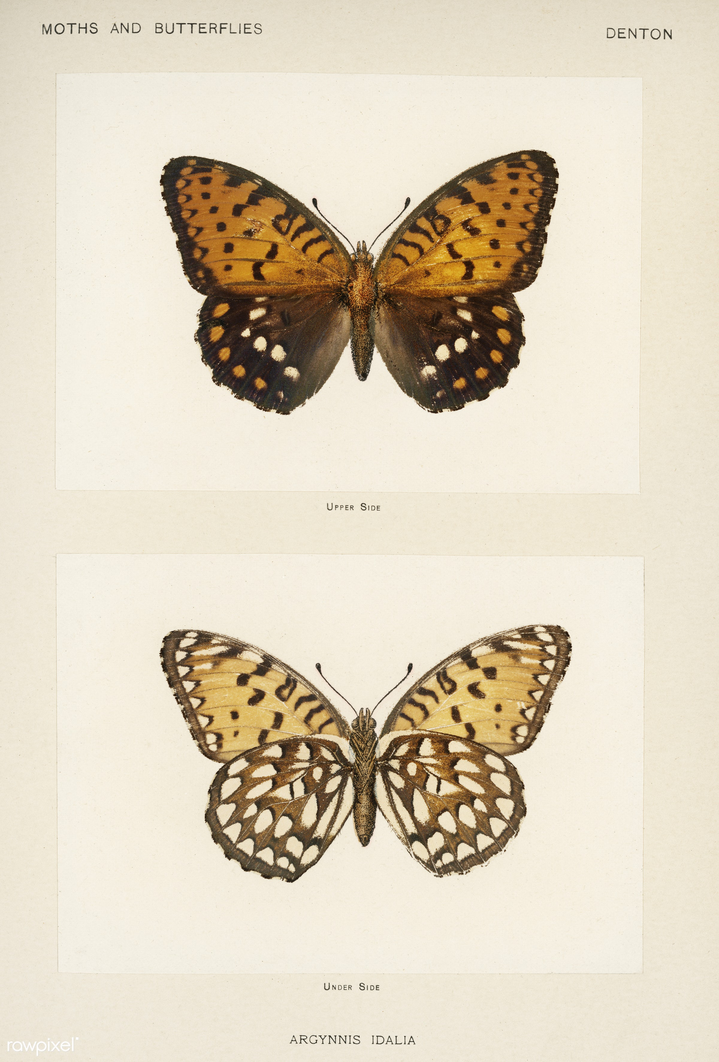Regal Fritillary (Argynnis Idalia) from Moths and butterflies of the United States (1900) by Sherman F. Denton (1856-1937)....
