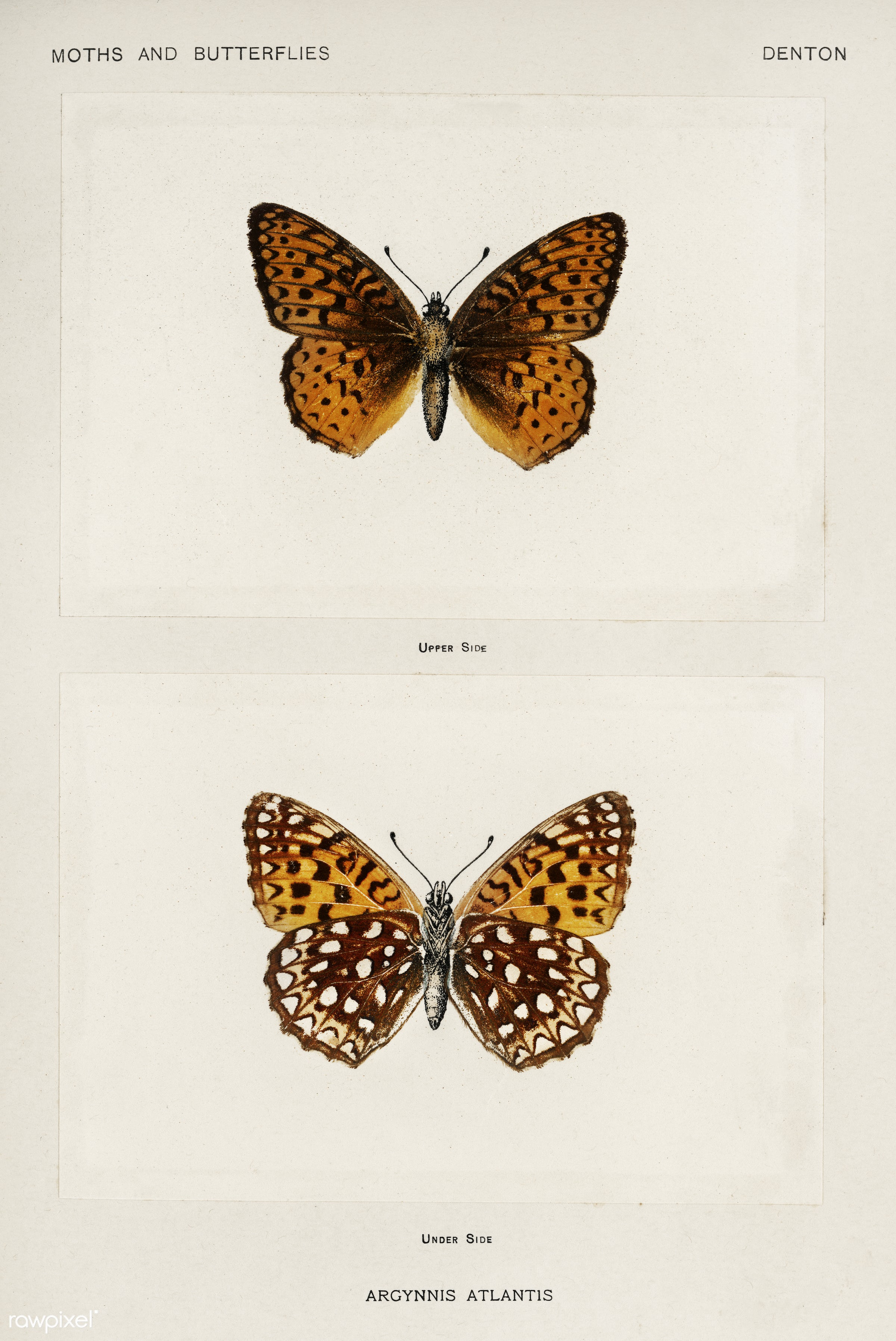 Atlantis Fritillary (Argynnis Atlantis) from Moths and butterflies of the United States (1900) by Sherman F. Denton (1856-...