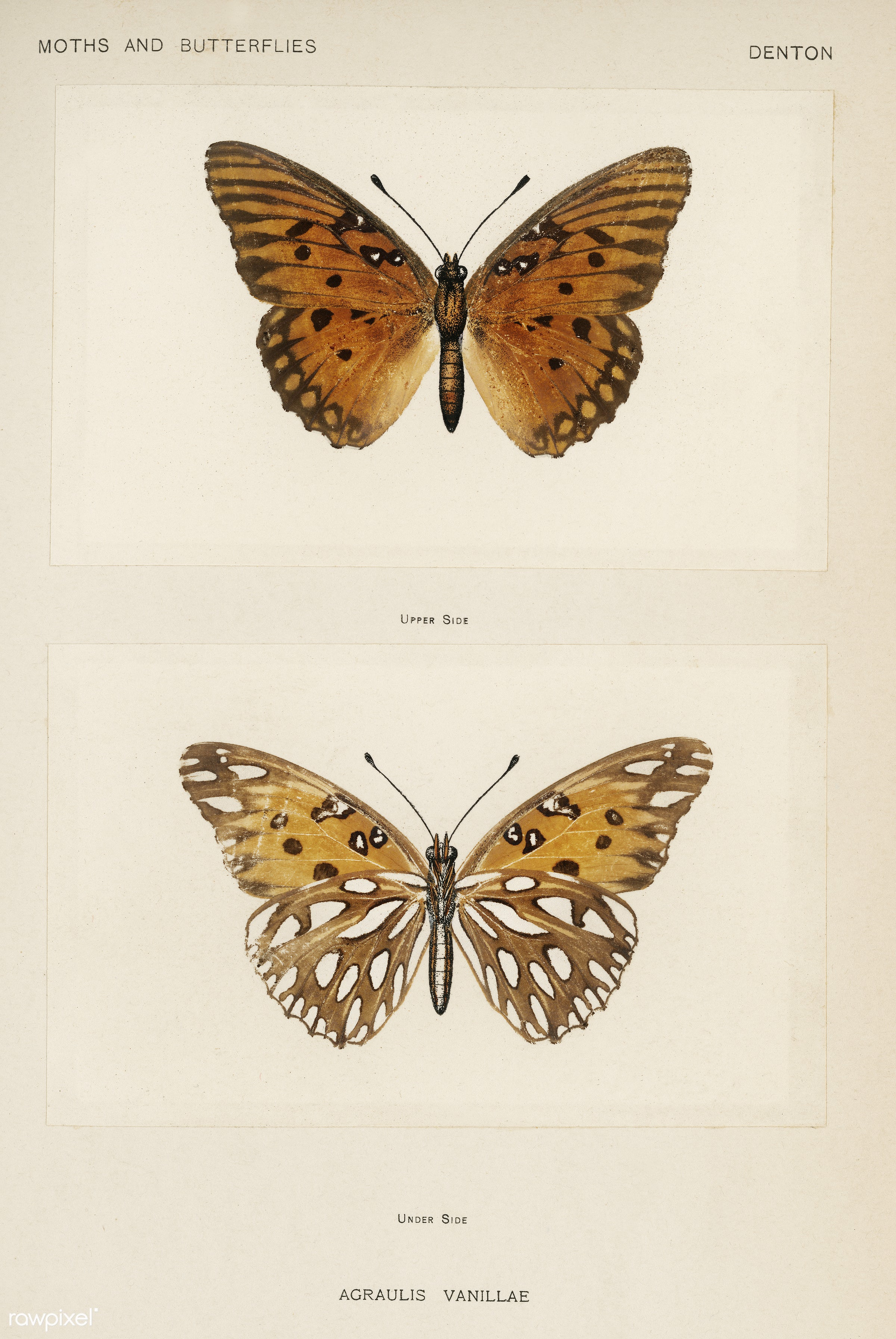 Gulf Fritillary (Agraulis Vanillae) from Moths and butterflies of the United States (1900) by Sherman F. Denton (1856-1937...