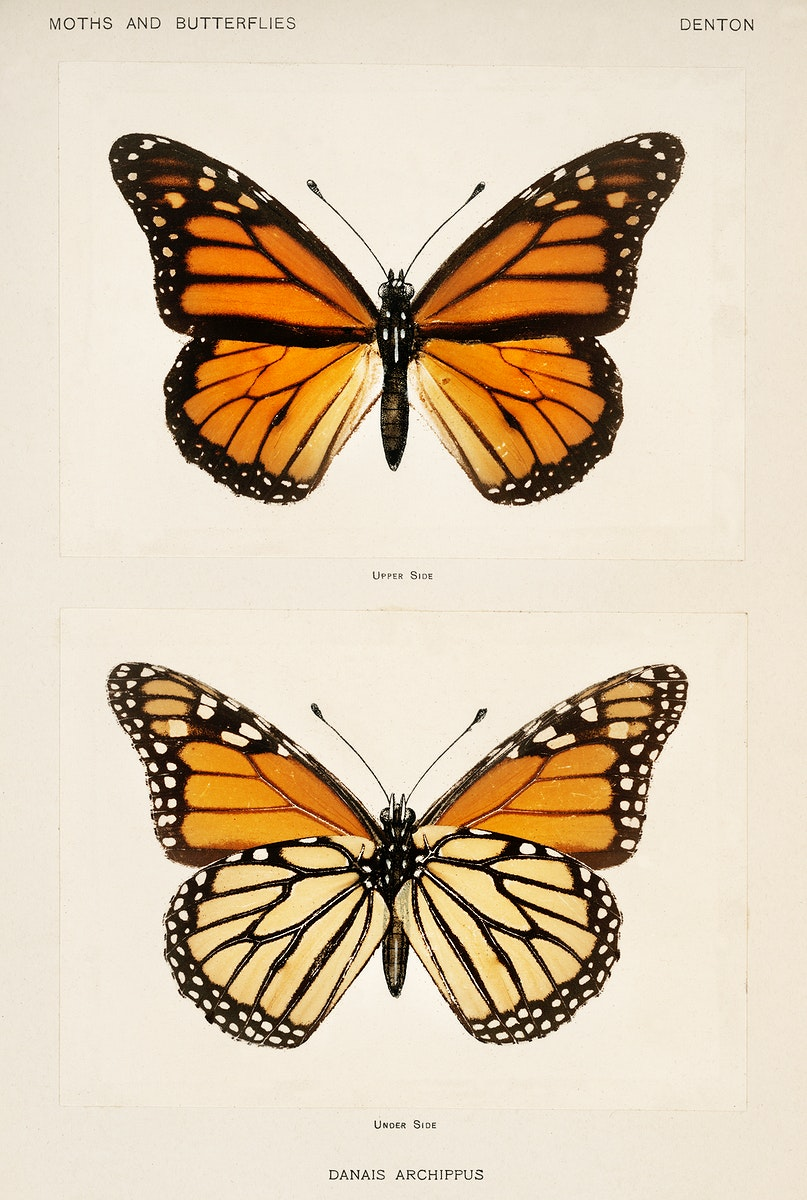 Monarch Butterfly (Danais Archippus) from Moths and butterflies of the United States (1900) by Sherman F. Denton (1856-1937).…