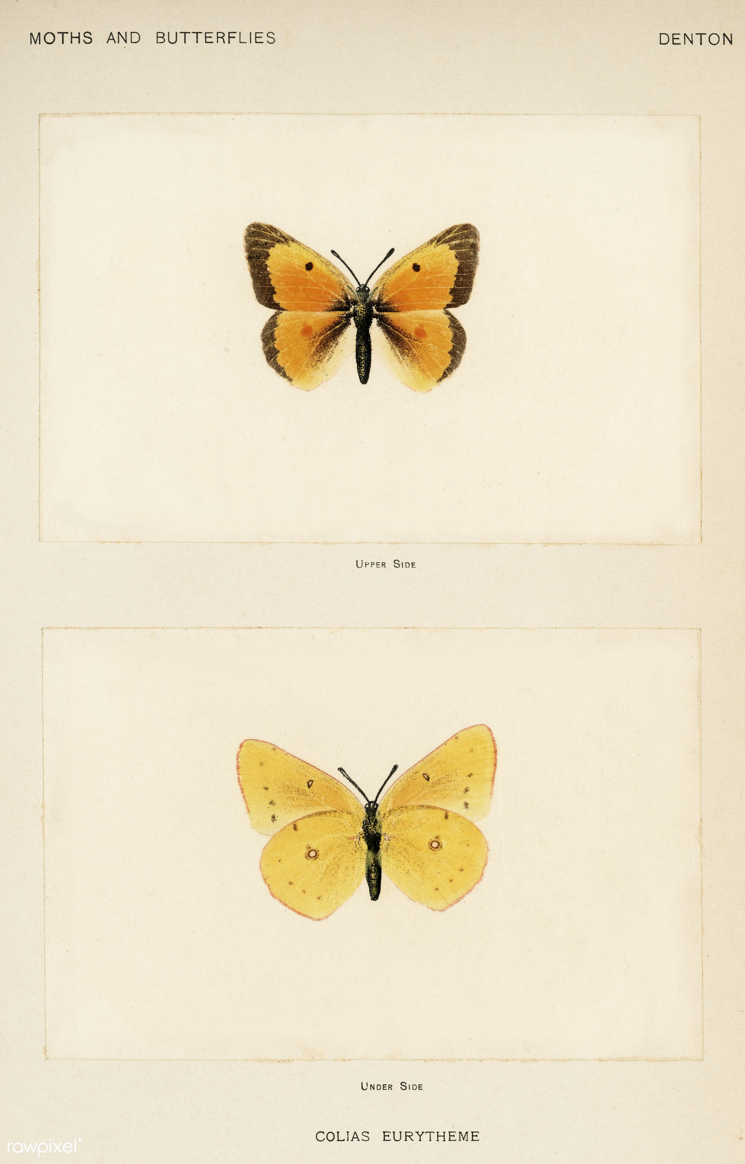 Orange Sulphur (Colias Eurytheme) from Moths and butterflies of the United States (1900) by Sherman F. Denton (1856-1937)....