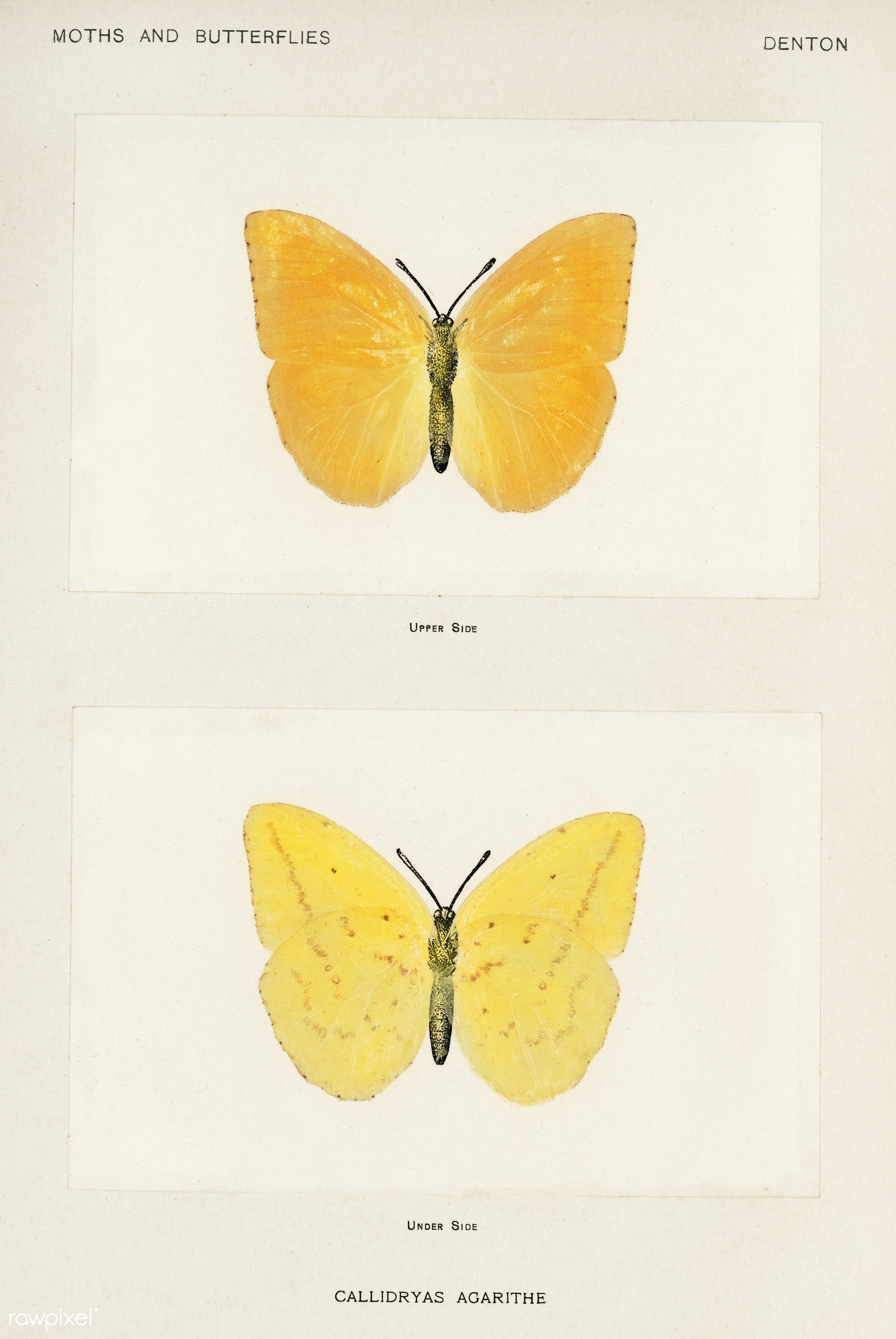 Orange Giant Sulphur (Callidryas Agarithe) from Moths and butterflies of the United States (1900) by Sherman F. Denton (1856...