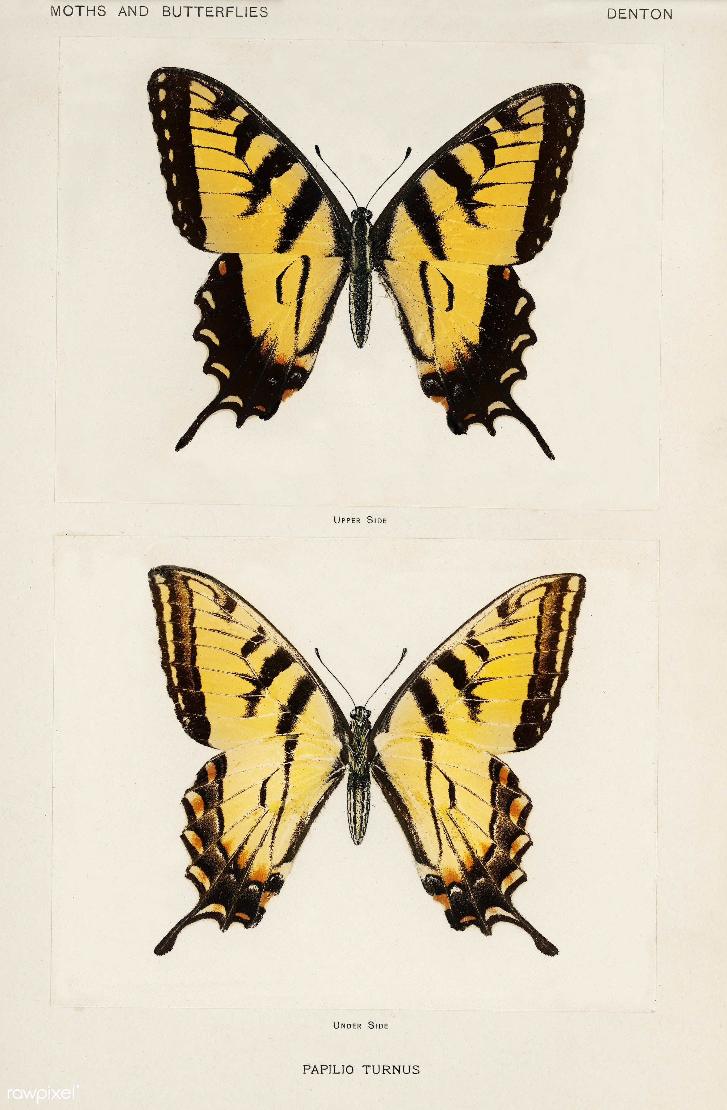 Eastern Tiger Swallowtail (Papilio Turnus) from Moths and butterflies of the United States (1900) by Sherman F. Denton (1856...