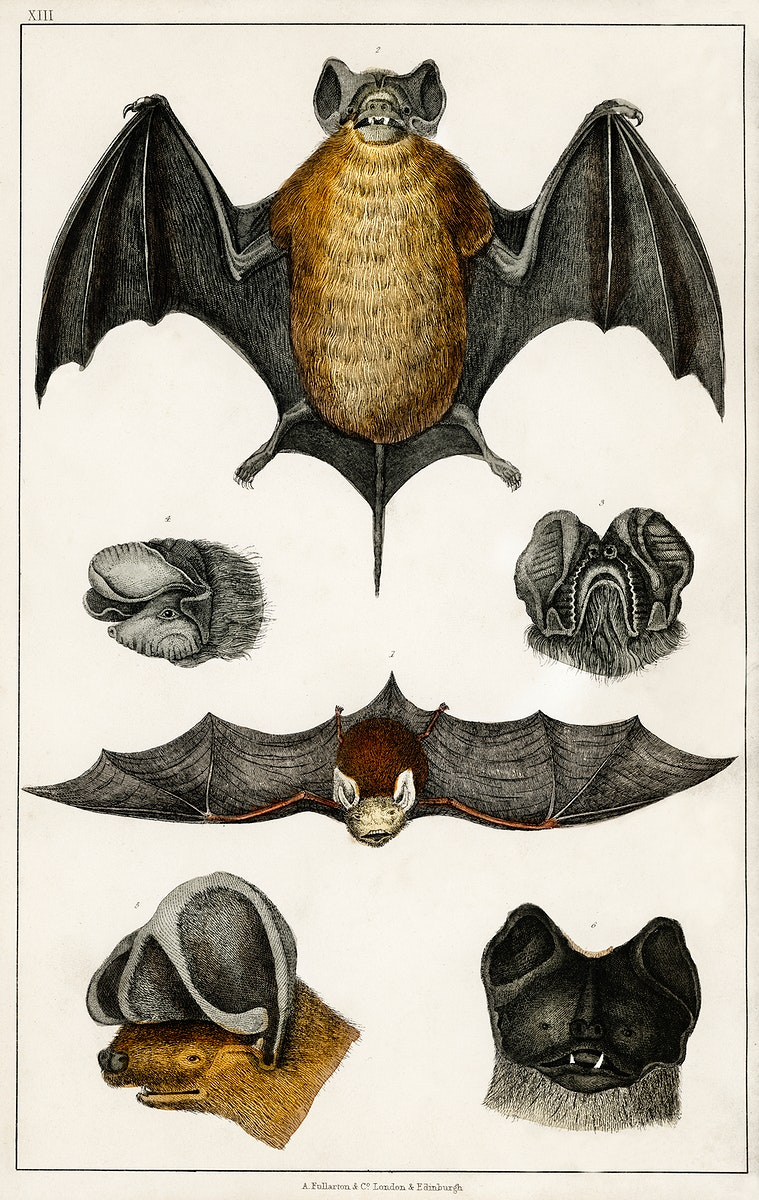 Collection of various Bats from A history of the earth and animated nature (1820) by Oliver Goldsmith (1730-1774). Digitally…