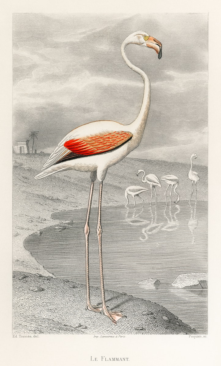Le Flammant (Flamingo) by Edouard Travies (1853), a portrait of a white flamingo in its natural habitat. Digitally enhanced…