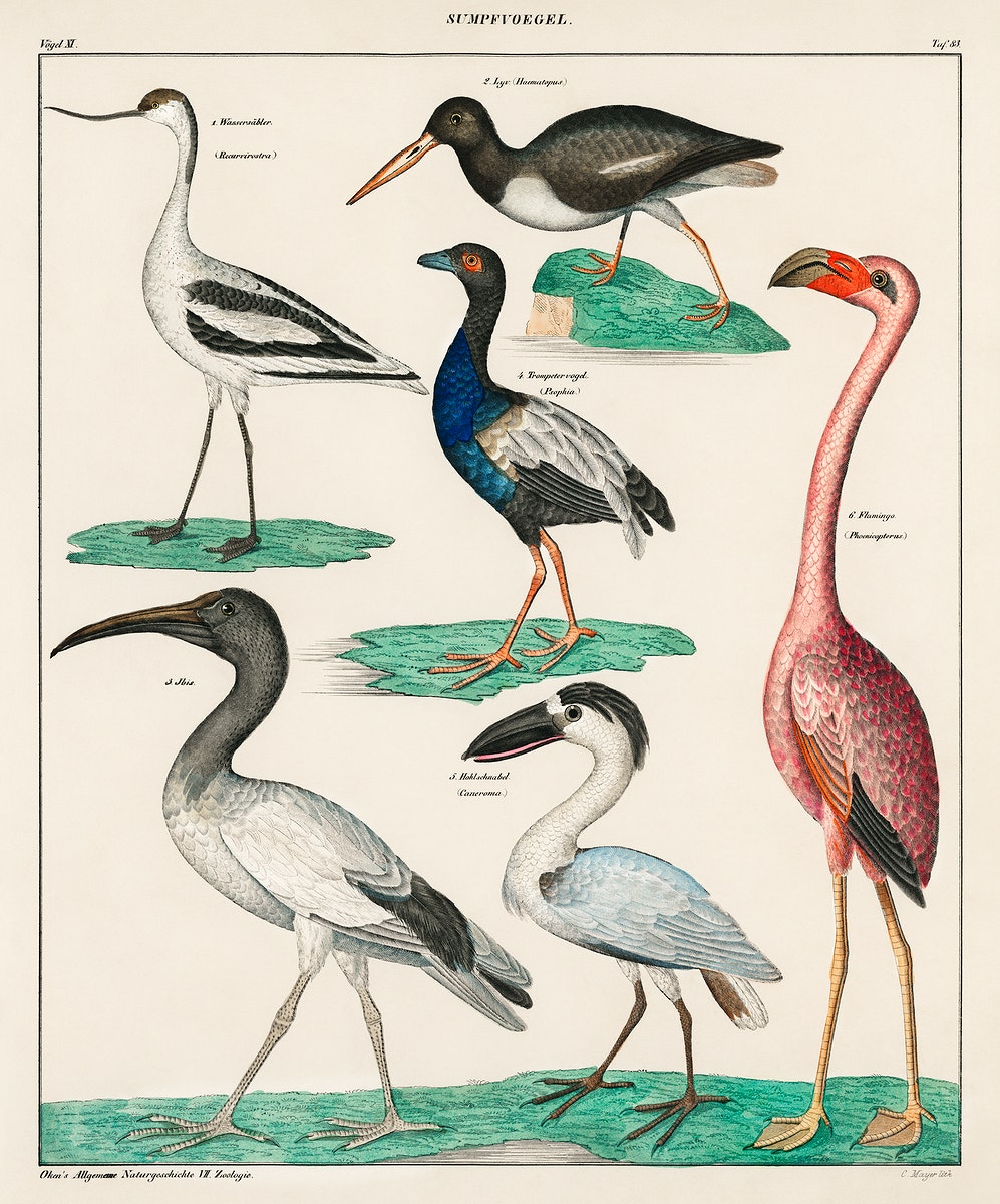 Oken's Allgemeine Naturgeschichte by Lorenz Oken, published in 1843, a lithograph of pied avocet and oystercatcher.…