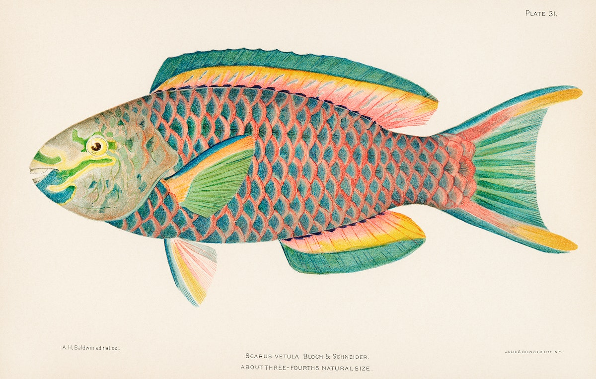 Rare Antique Tropical Fish Queen Parrot by Henry Baldwin (1899), a beautifully colored exotic fish isolated. Digitally…