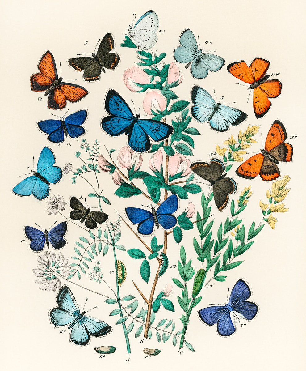 Illustrations from the book European Butterflies and Moths by William Forsell Kirby (1882), a kaleidoscope of fluttering…