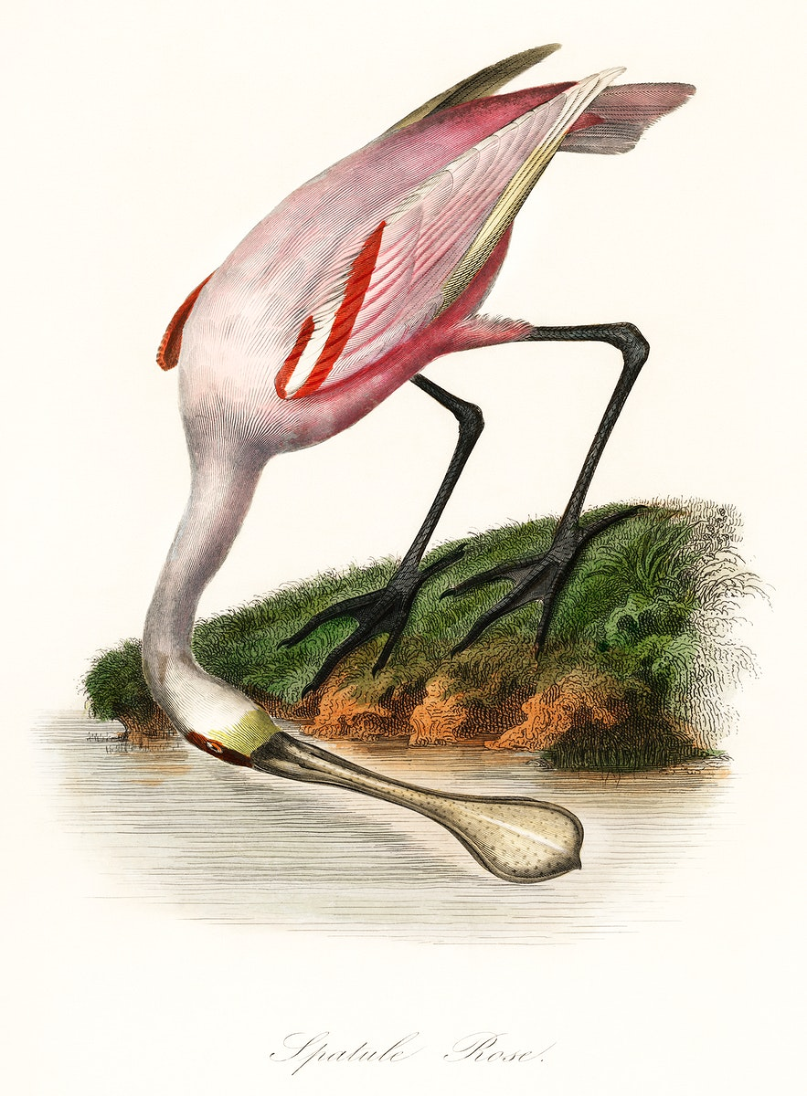 Les Jardin des Plantes (The Garden of Plants) by Pierre Bernard and Louis Couaihac (1842), a roseate spoonbill by the water.…