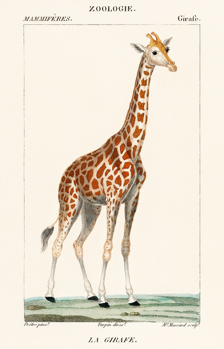 Illustration of a giraffe from Dictionnaire des Sciences Naturelles by Pierre Jean Francois Turpin (1840). Digitally enhanced…