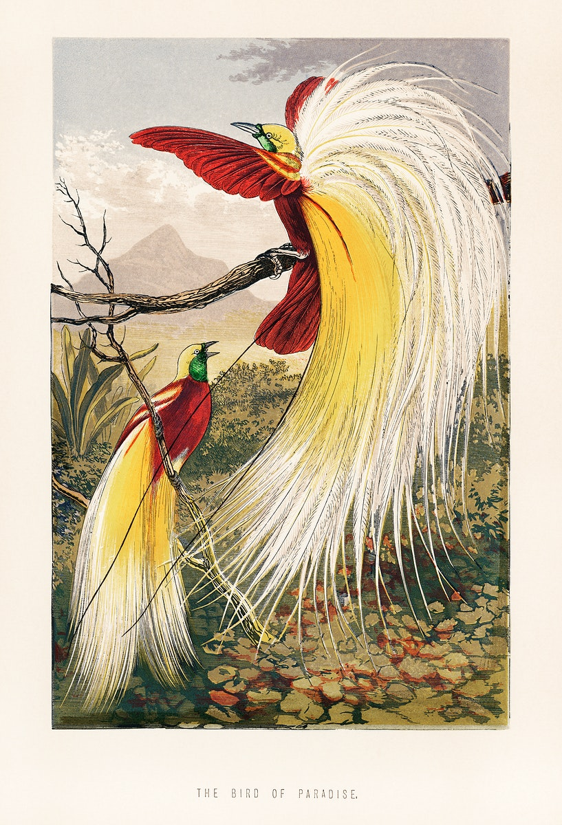 The Bird of Paradise by Benjamin Fawcett (1808-1893), two blindingly colorful birds full with feathers in paradise. Digitally…