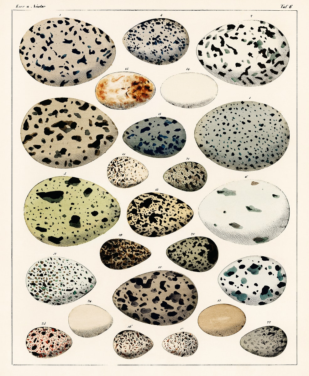 Oken Eggs - taf. 6 (1843) by Lorenz Oken (1779-1851), a collection of different eggs of different species of birds. Digitally…