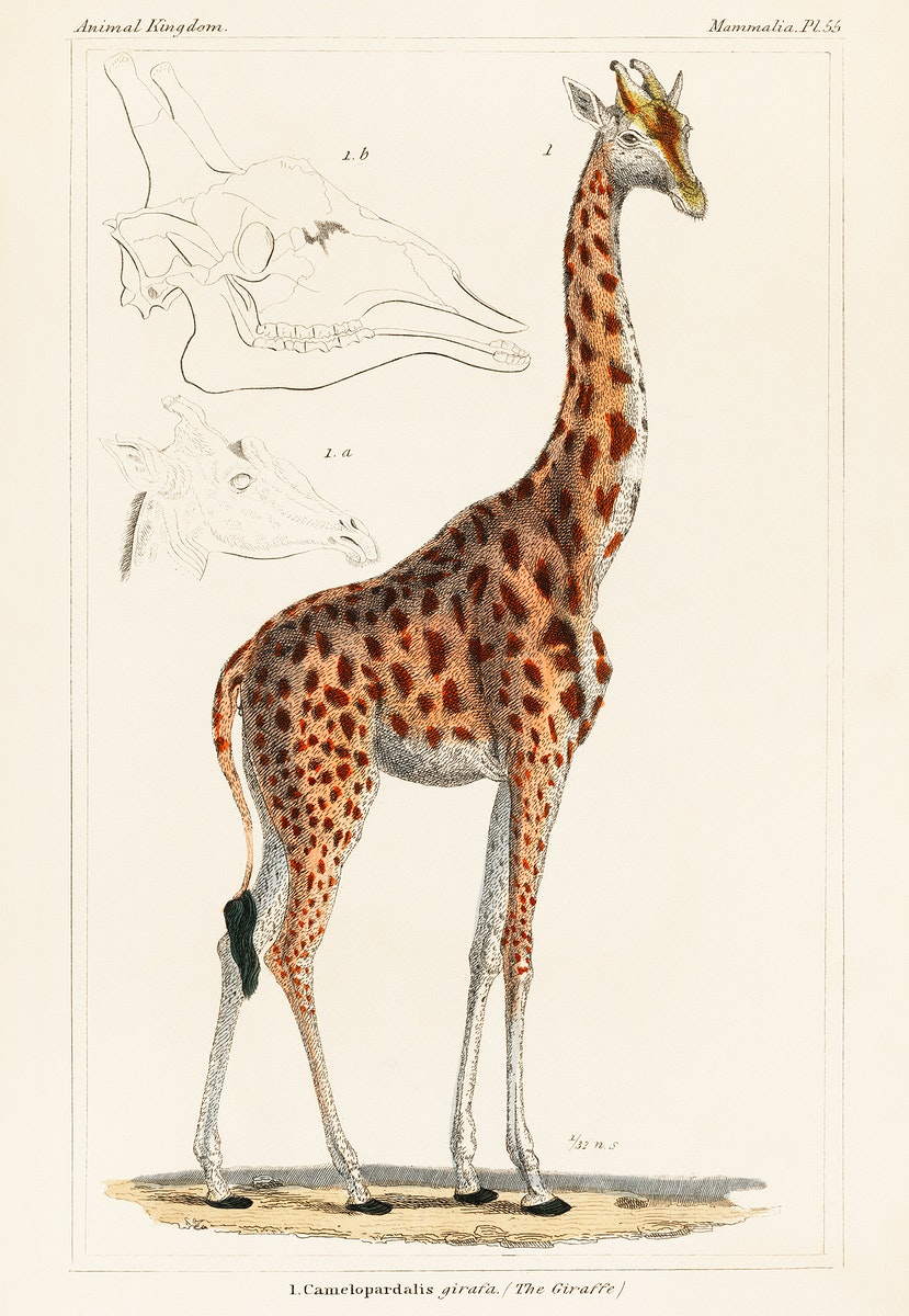 Camelopardis Giraffe - The Giraffe (1837) by Georges Cuvier (1769-1832), an illustration of a beautiful giraffe and sketches…