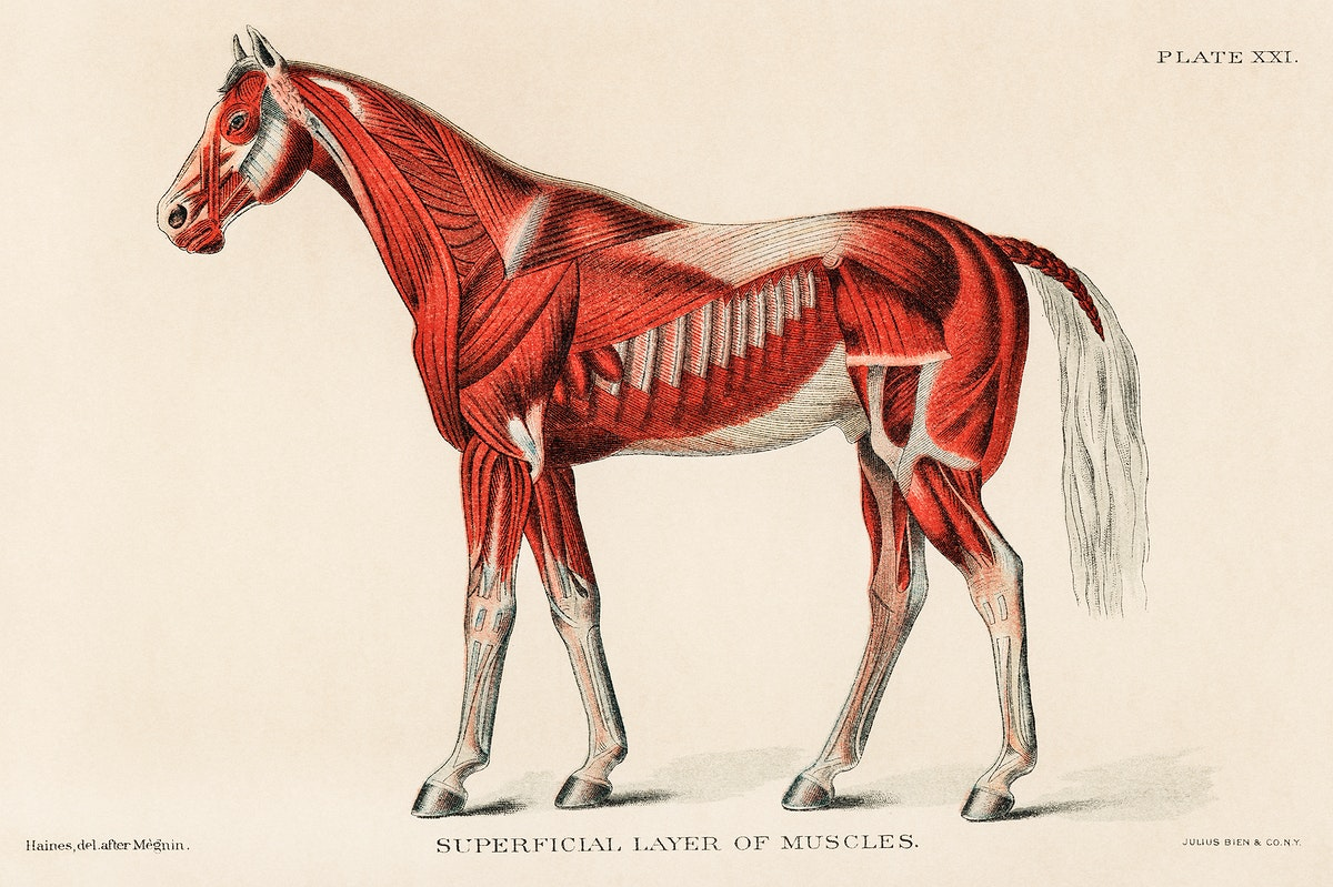 Superficial Layer of Muscles by an unknown artist (1904), a medical illustration of equine muscular system. Digitally…
