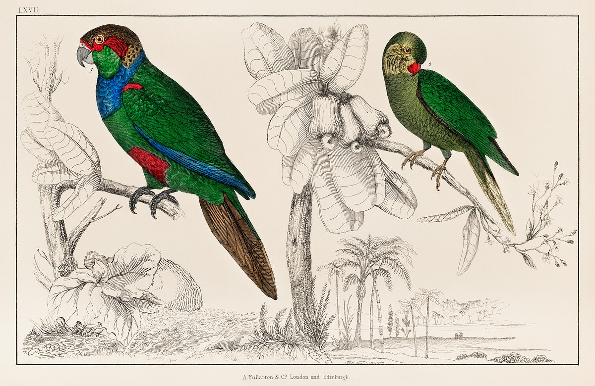 The History of the Earth and Animated Nature by Oliver Goldsmith (1774), a rare antique handcolored tableau of two parakeets.…