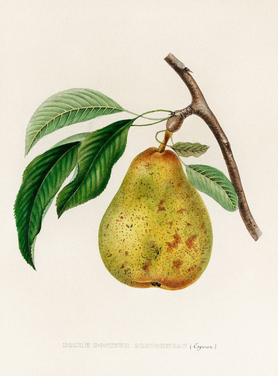 Pyrus communis, a vintage illustration of a pear. Digitally enhanced from our own plate.