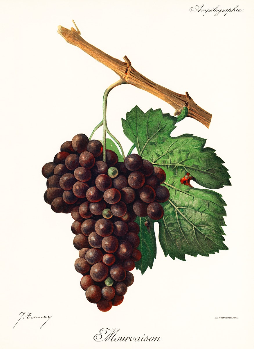 Mourvaison printed in 1910, by Jules Troncy (1855-1915), a vintage lithograph of fresh cluster of grapes. Digitally enhanced…