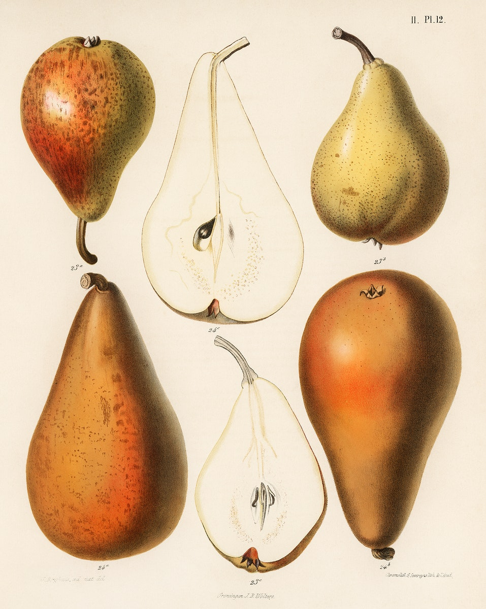 A vintage chromolithograph of fresh pears printed in 1887, by Samuel Berghuis. Digitally enhanced from our own original…
