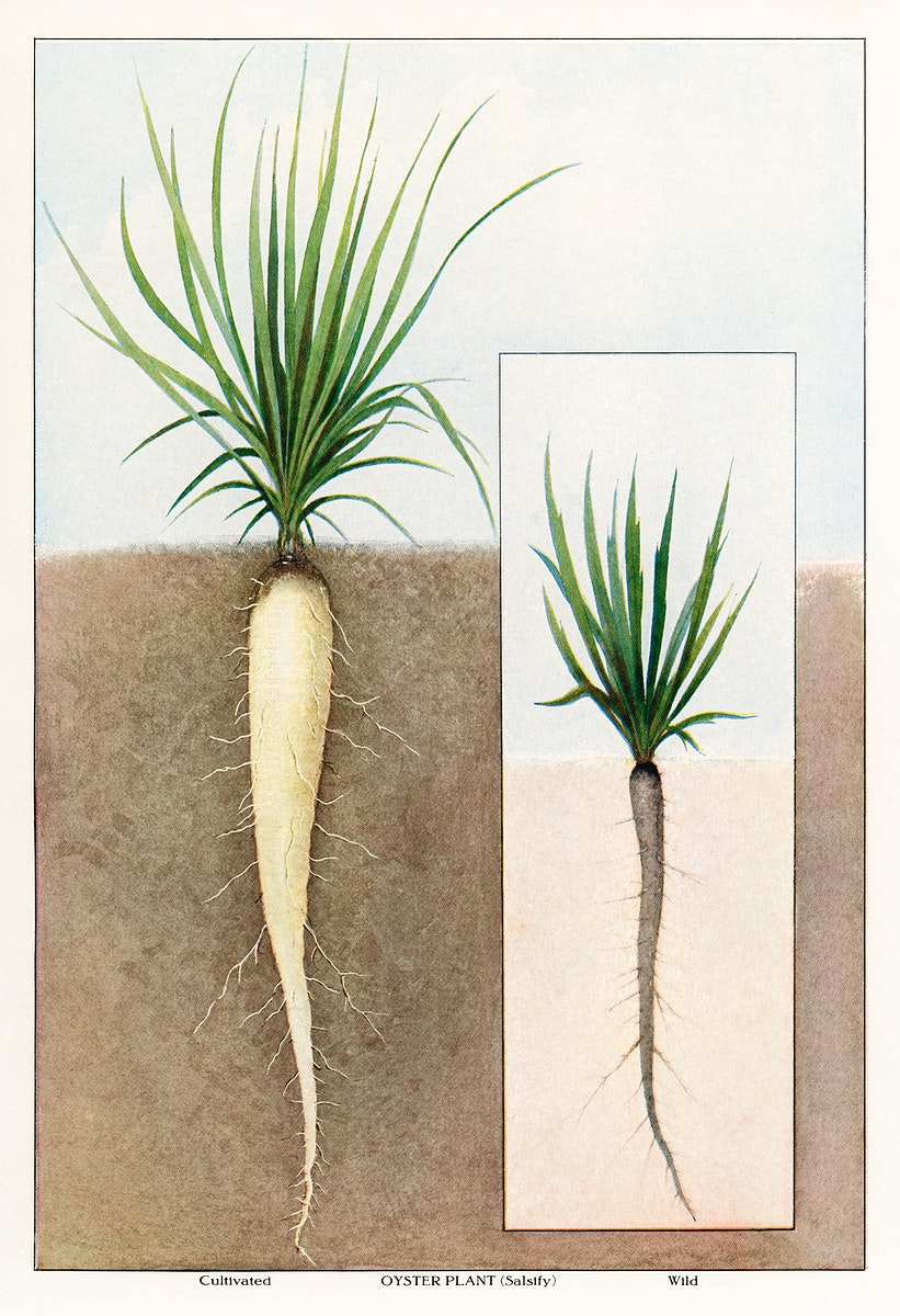 The Grocer's Encyclopedia (1911), an illustrated comparison between a cultivated oyster plant and a wild one. Digitally…