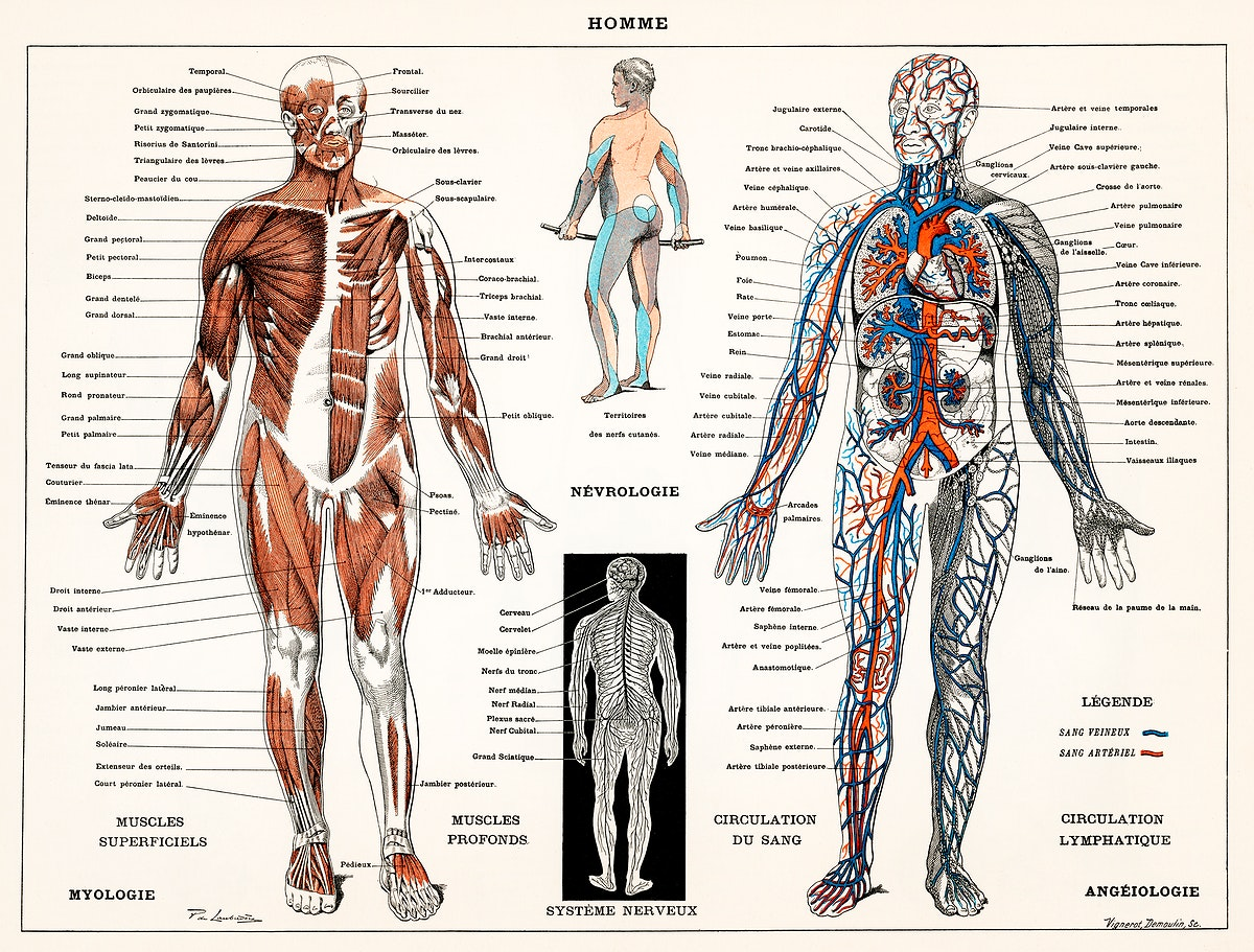 An antique illustration of a human nervous system and muscular system (1900) by Larousse, Pierre; Augé and Claude.…