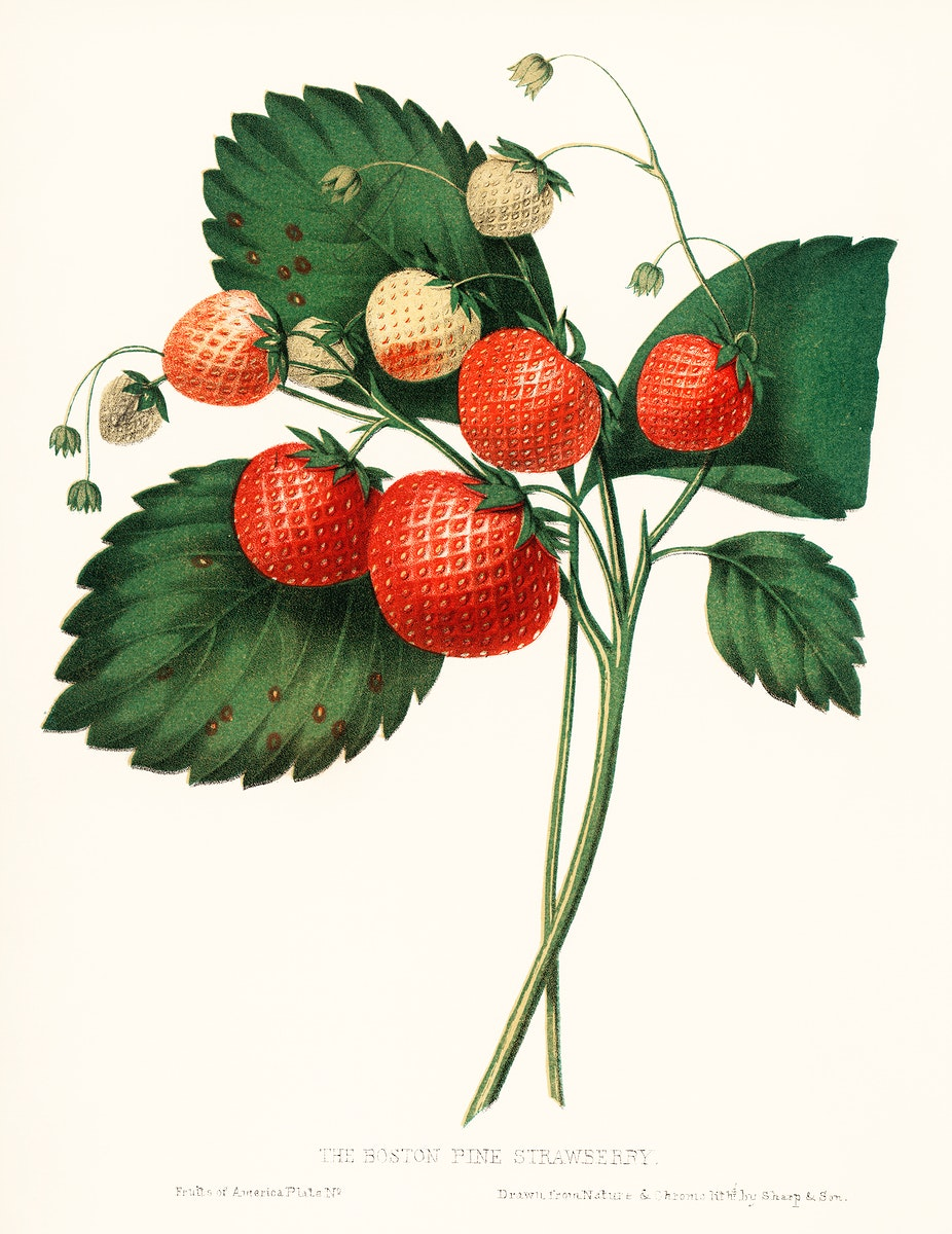 The Boston Pine Strawberry (1852) by Charles Hovey, a vintage illustration of fresh strawberries. Digitally enhanced from our…
