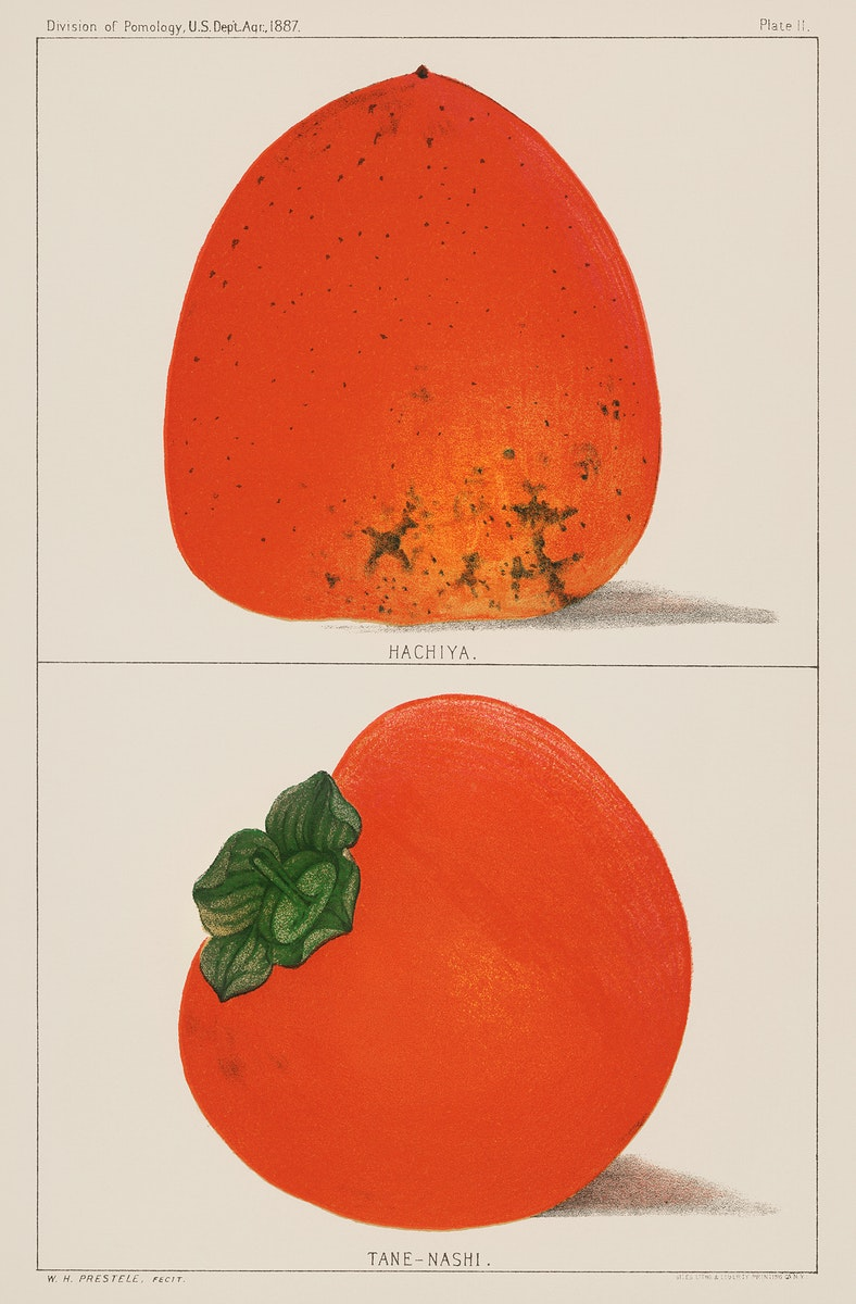 A vintage illustration of fresh persimmons from the book Commissioner of Agriculture (1887). Digitally enhanced from our own…