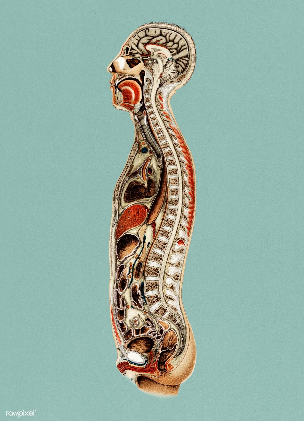 Download Premium Illustration Of Vintage Illustration Of An Anatomy Chart