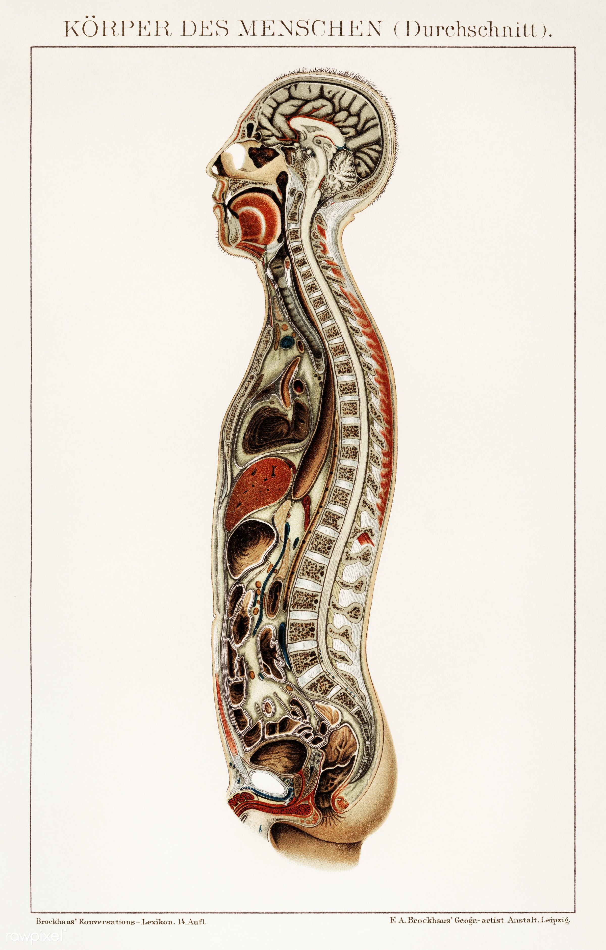Korpers Des Menschen (1898), an antique lithograph of an anatomy ...
