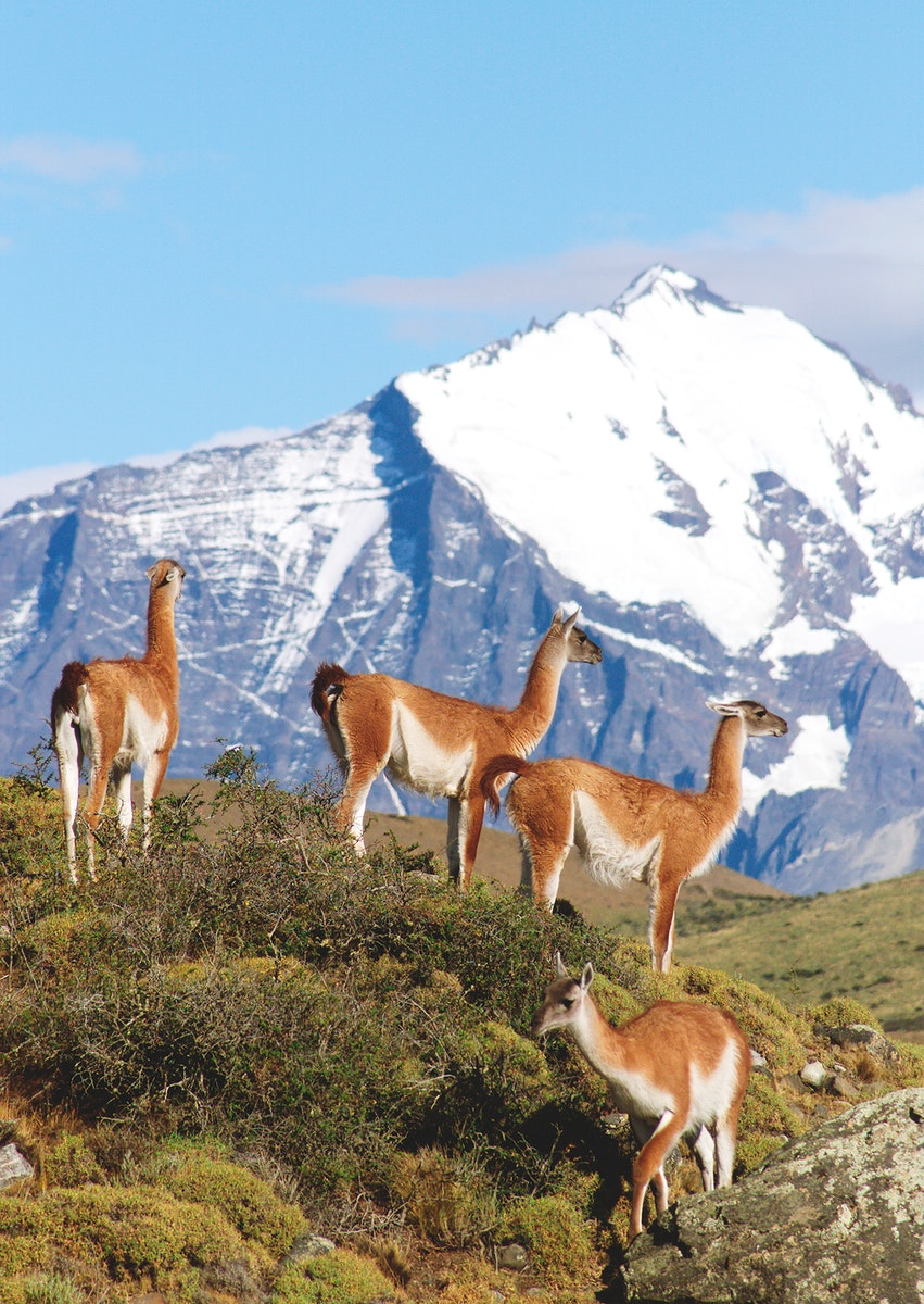 A herd of guanacos in Torres del Paine National Park in Chile. Original from NASA. Digitally enhanced by rawpixel.