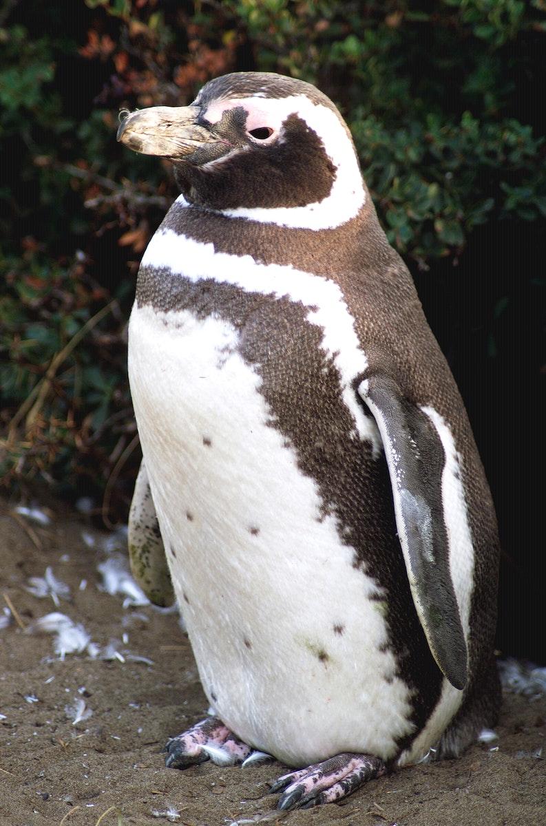 A penguin near Punta Arena, Chile. Original from NASA. Digitally enhanced by rawpixel.