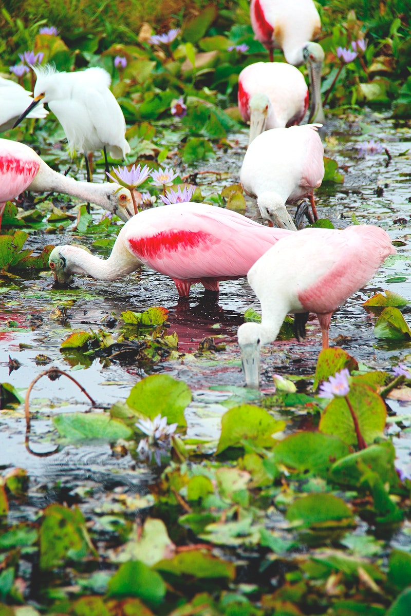 Roseate spoonbills feed at NASA's Kennedy Space Center in Florida. Original from NASA. Digitally enhanced by rawpixel.