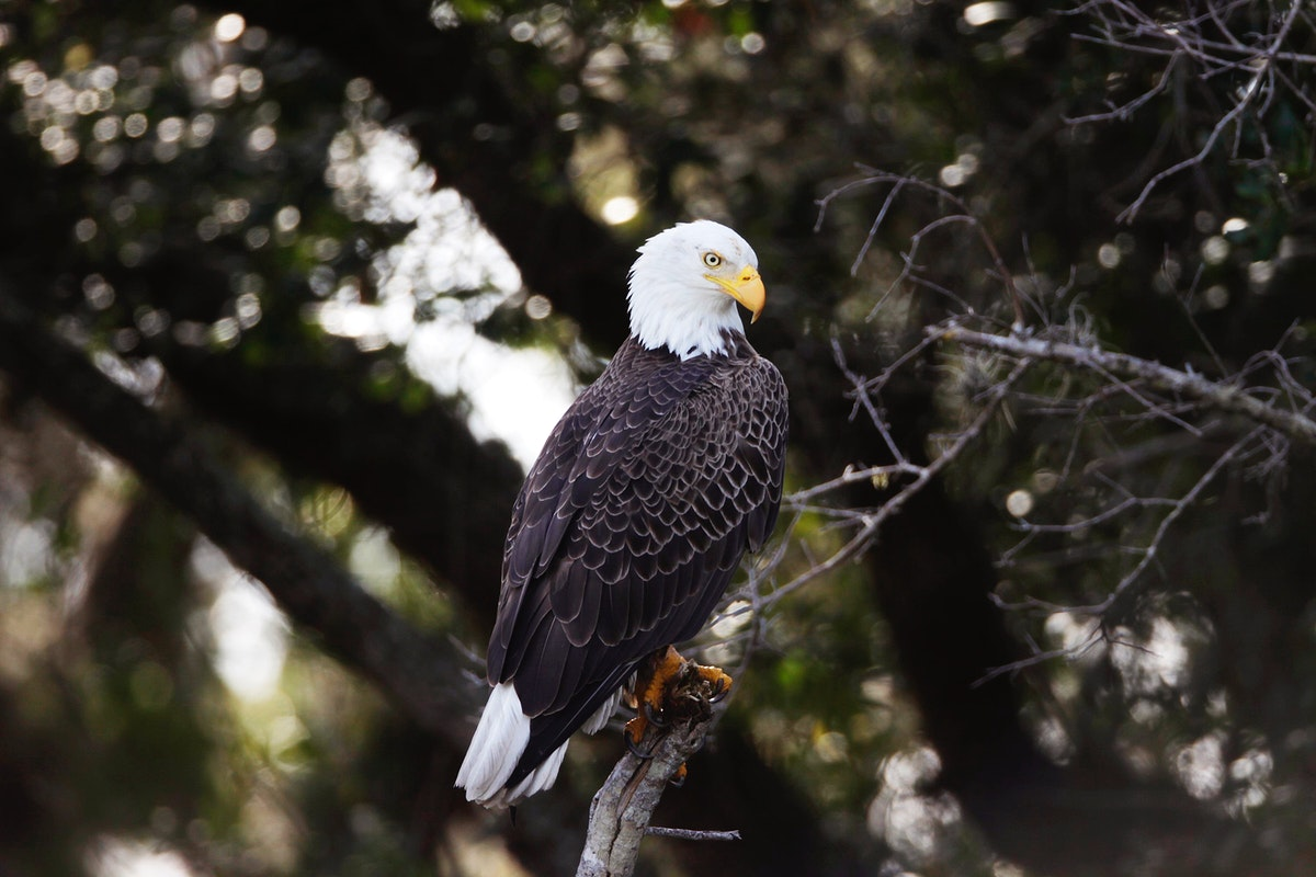 A bald eagle is perched in a tree near the Shuttle Landing Facility at NASA's Kennedy Space Center in Florida. Original from…