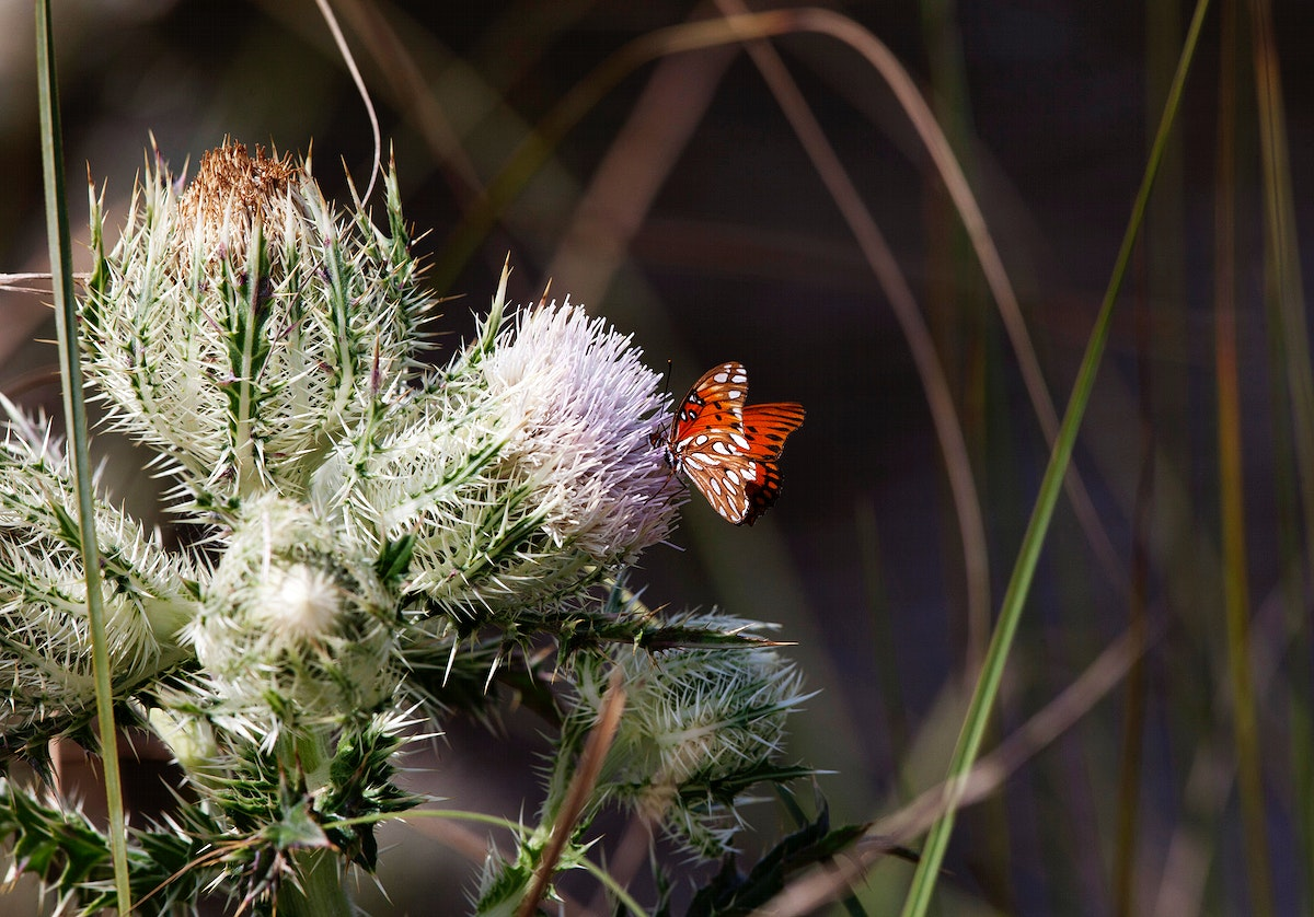 Thistle blooms provide a midday meal for a gulf fritillary butterfly at Merritt Island National Wildlife Refuge in Florida.…