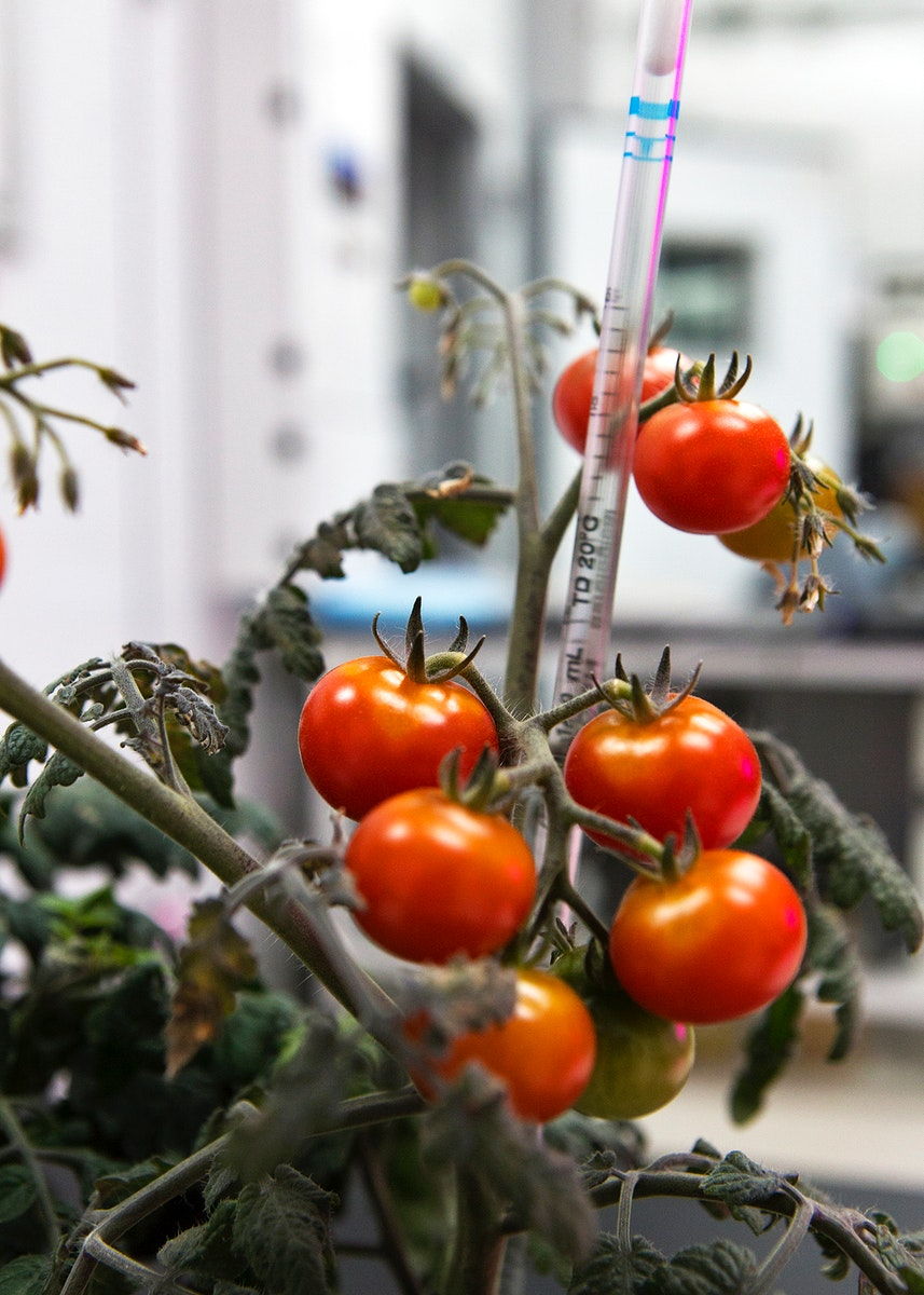 Tomato plants are growing inside a laboratory at the Space Station Processing Facility at NASA's Kennedy Space Center…