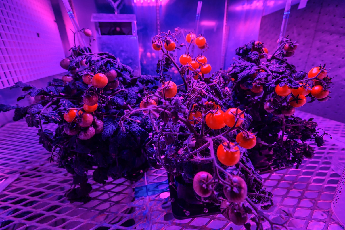 Tomato plants are growing under red and blue LED lights in a growth chamber inside a laboratory at the Space Station…
