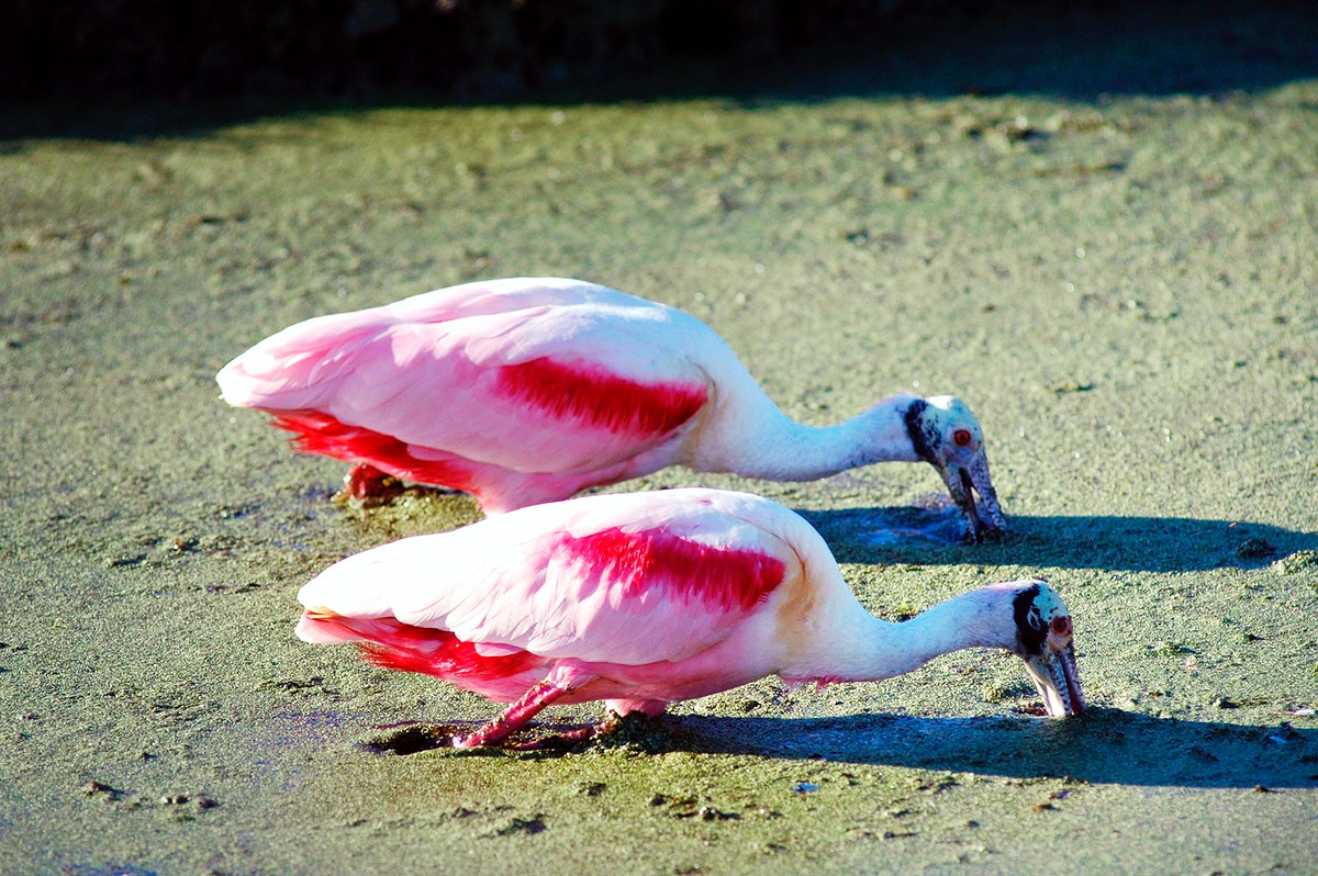 Two roseate spoonbills search a murky canal for food. Original from NASA. Digitally enhanced by rawpixel.