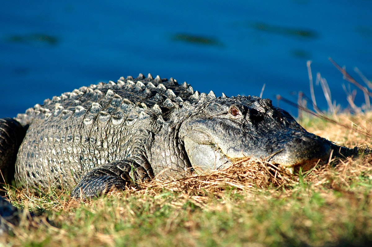 An alligator suns itself on the bank of a pond. Original from NASA. Digitally enhanced by rawpixel.
