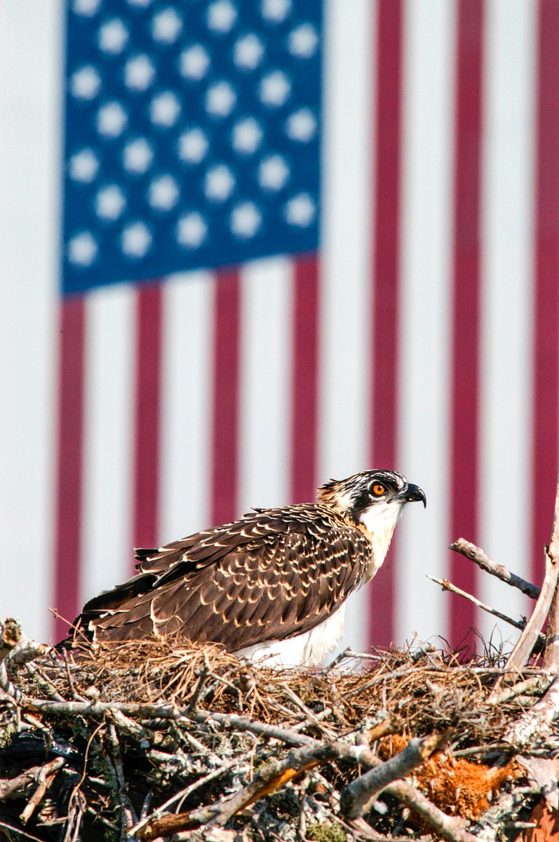A baby osprey sits on its nest situated at the top of a pole in the parking lot at the NASA News Center at Kennedy Space…