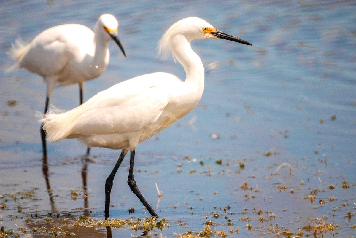 Snowy egrets wade through a pond for their food at a pond near Kennedy Space Center. Original from NASA. Digitally enhanced…
