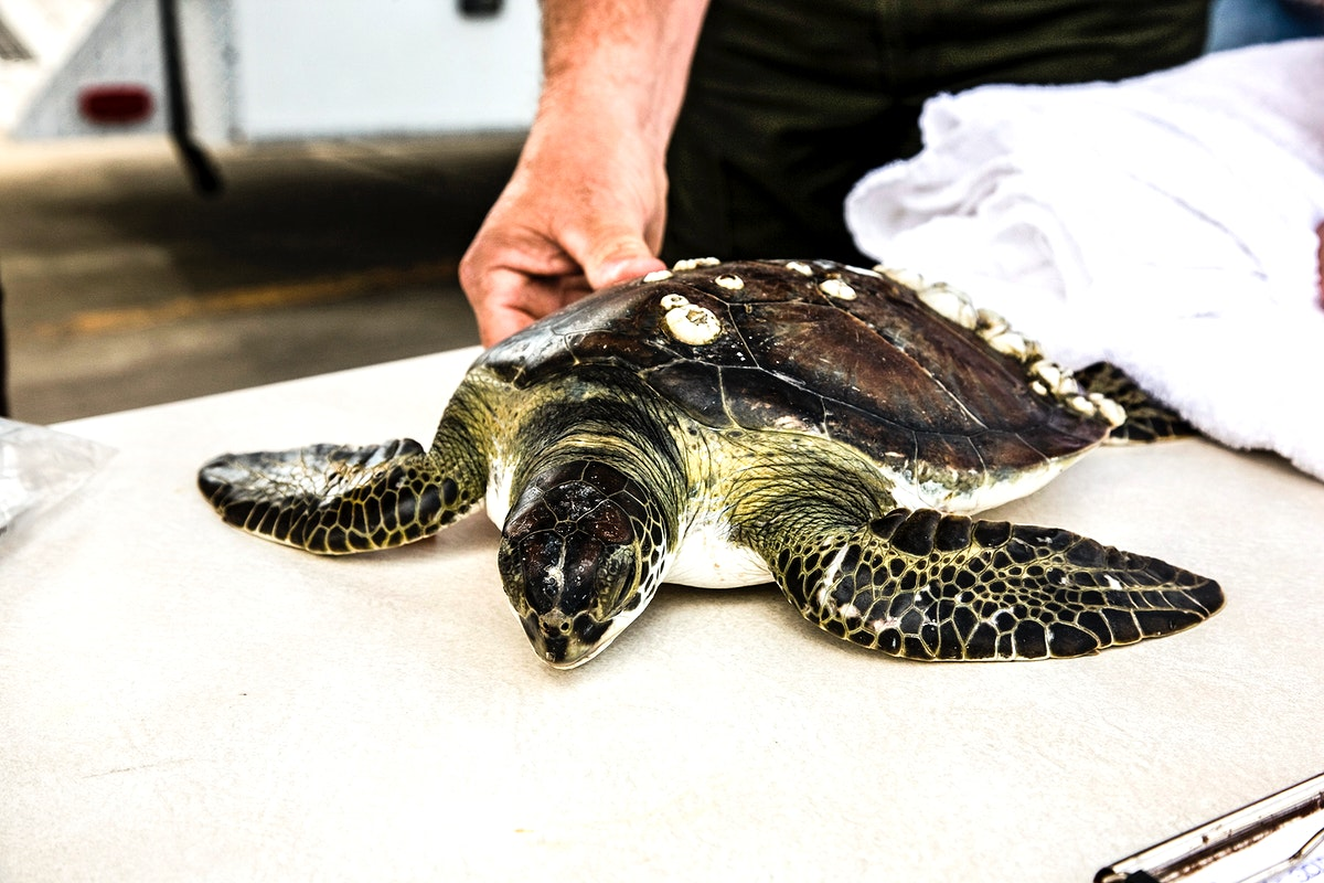 A juvenile green sea turtle is prepared for its release into the waters of the Banana River at NASA's Kennedy Space Center in…