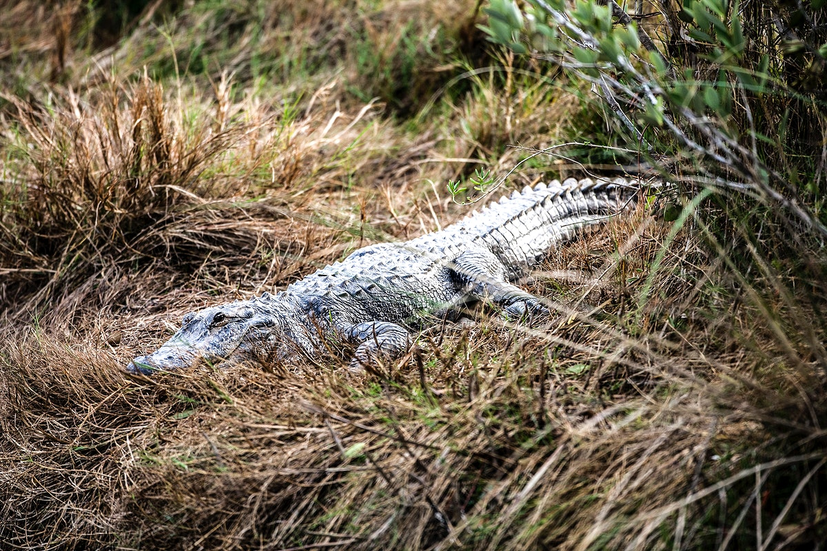 A gator slinks through tall grass. Original from NASA. Digitally enhanced by rawpixel.