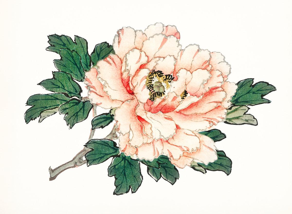 Vintage Illustration of a pink rose.