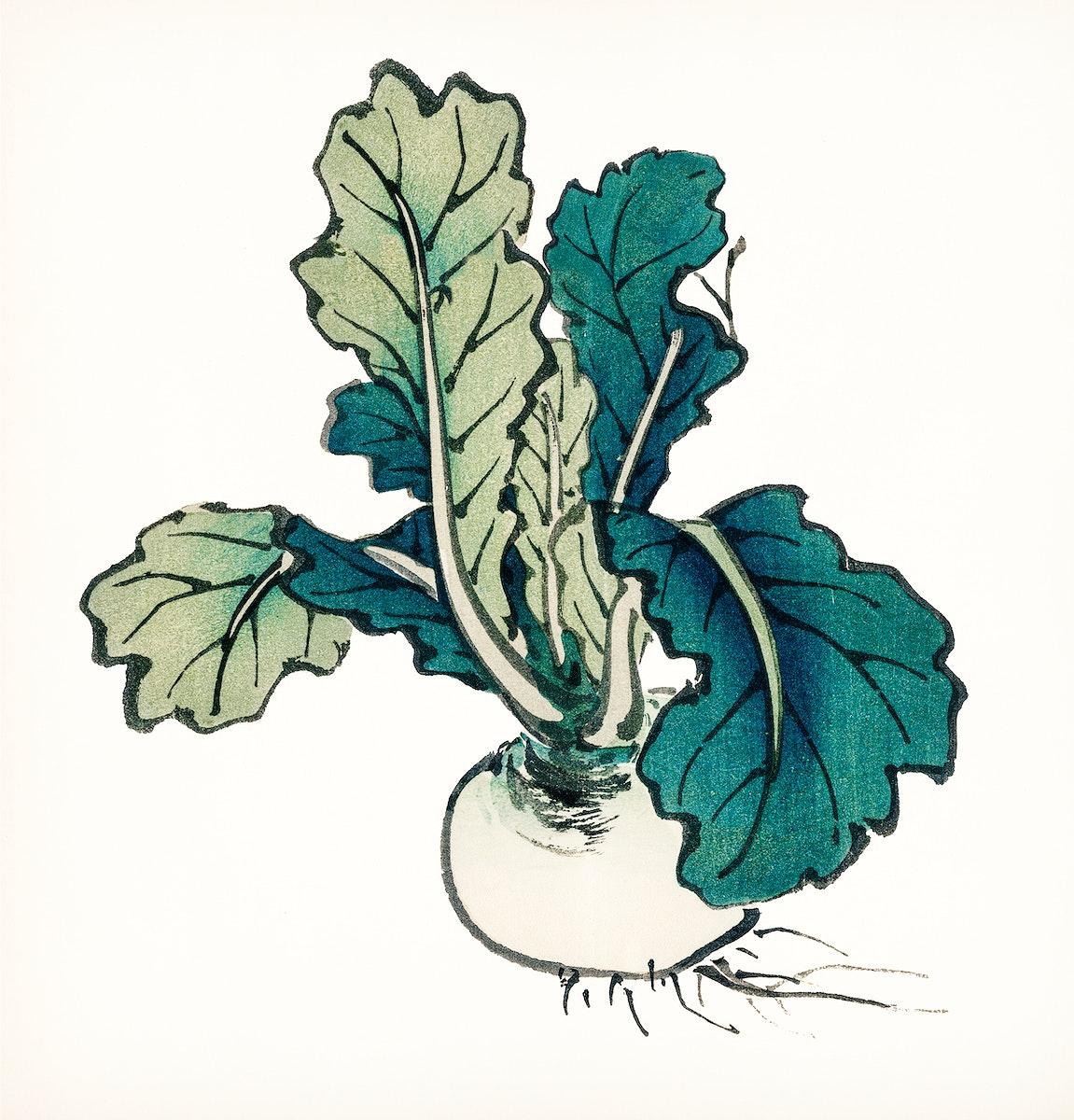 Vintage Illustration of Radish.
